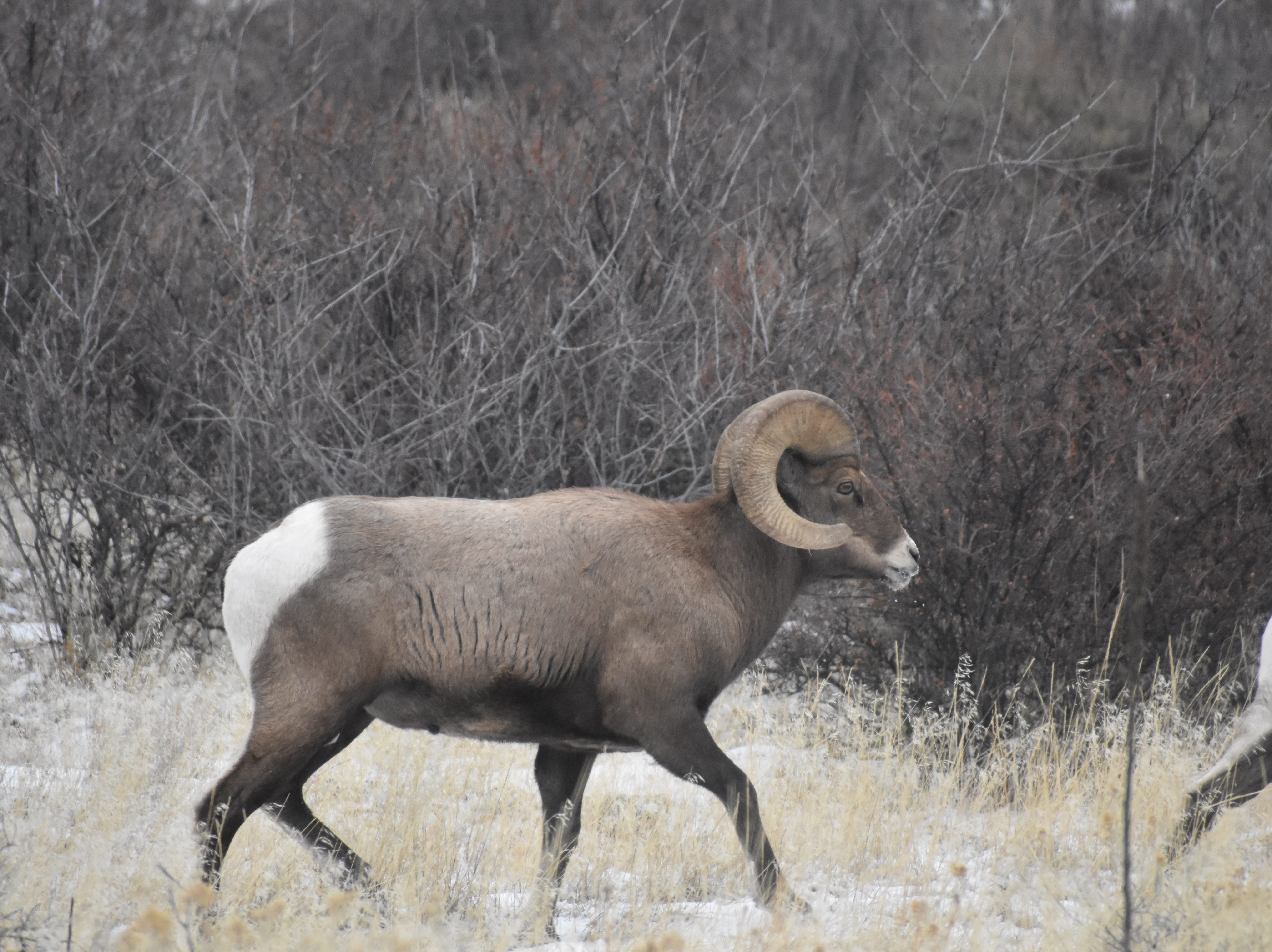 Bighorn sheep horns can weigh up to 40 pounds.