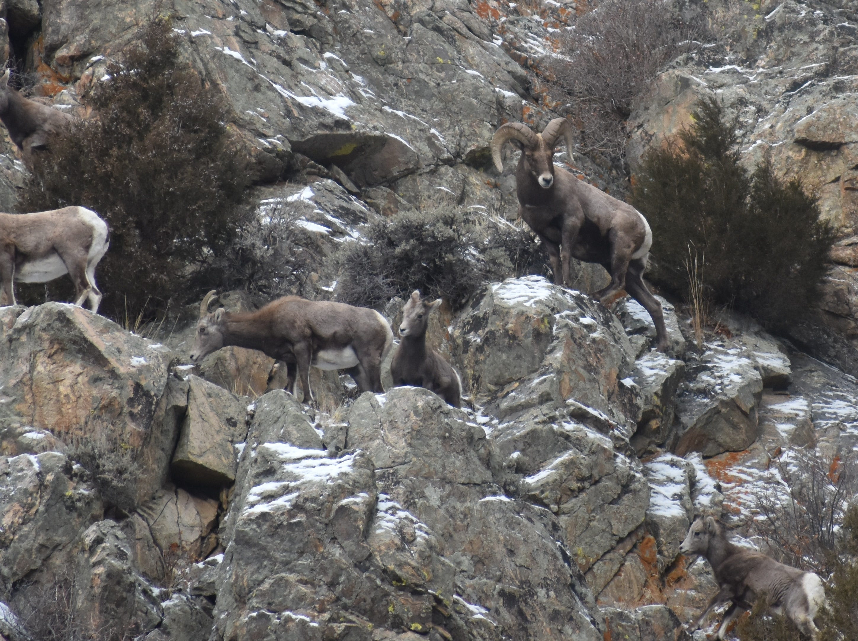 A bighorn ram keeps guard over ewes near Big Bend Campground up the Poudre Canyon.