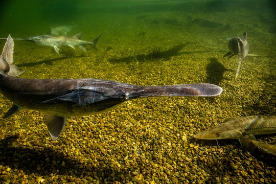 The American paddlefish is a prehistoric survivor now sought for its roe, which is sold as caviar.