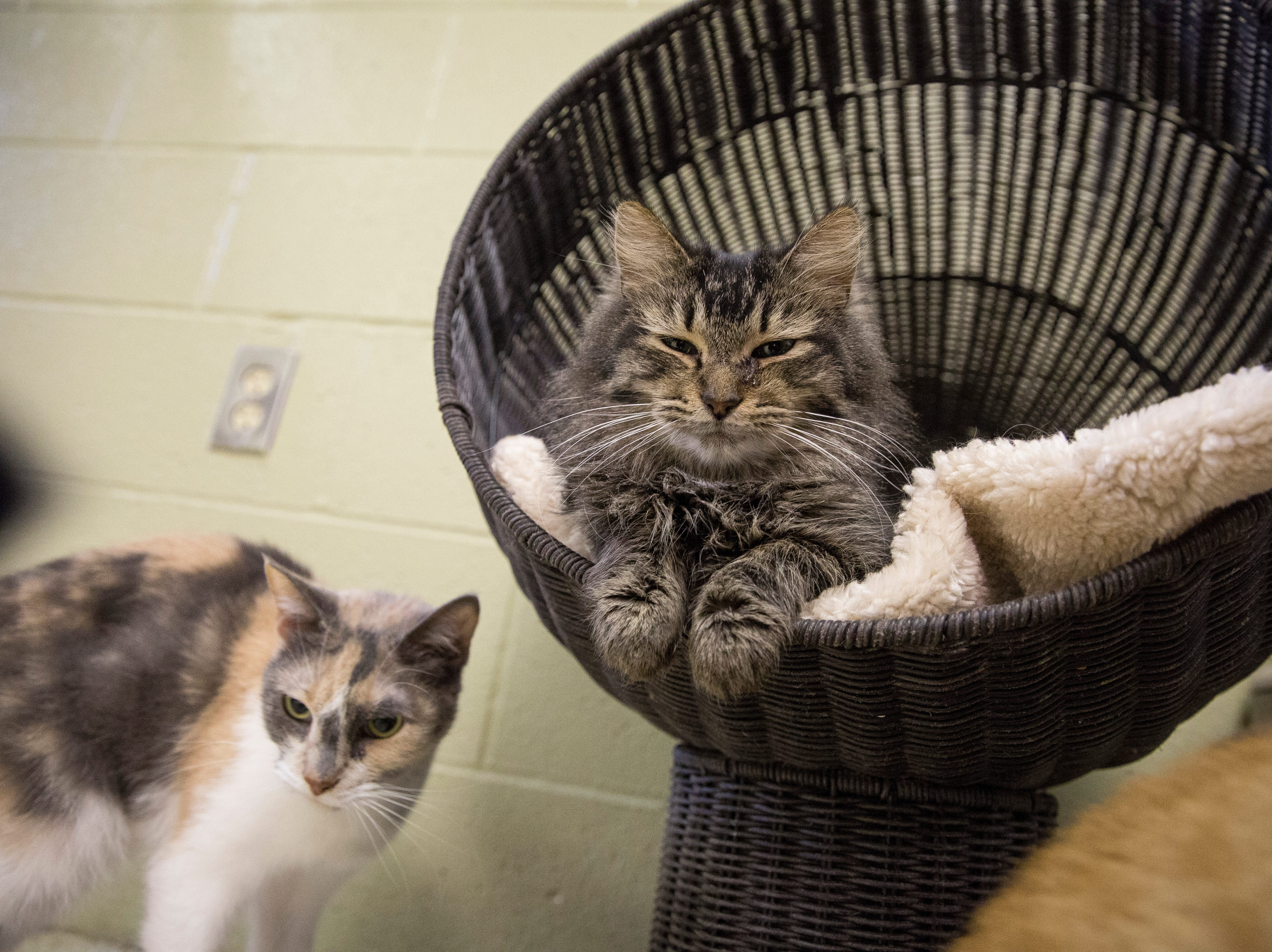 Cats wait to be adopted on the adoption floor of the Muncie Animal Shelter Tuesday afternoon. The shelter will have a 24 hour adoption event starting Friday at midnight where all dogs will be $5 to adopt, while all cats and kittens will be $1 to adopt.