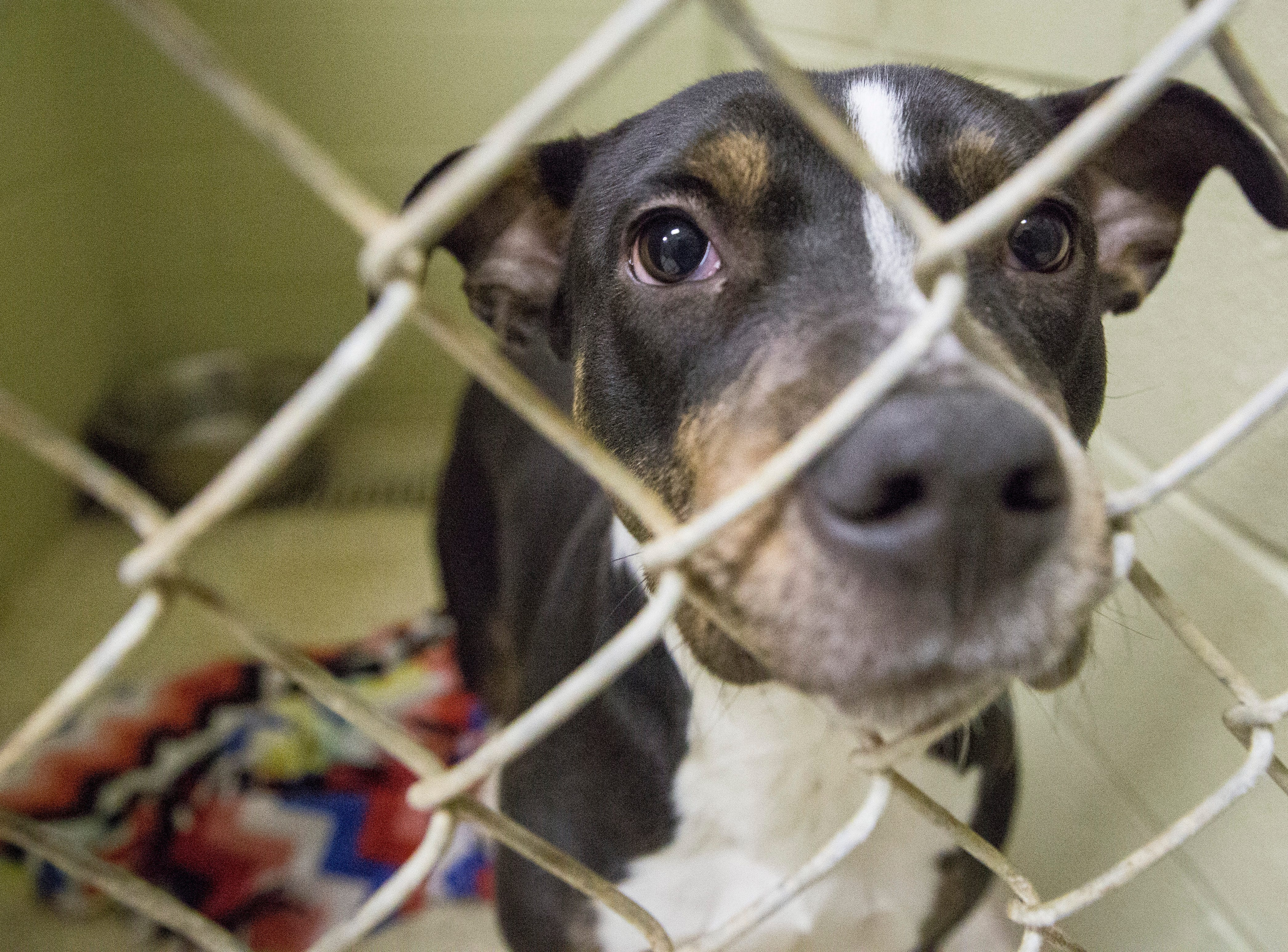 Dogs wait to be adopted on the adoption floor of the Muncie Animal Shelter Tuesday afternoon. The shelter will have a 24 hour adoption event starting Friday at midnight where all dogs will be $5 to adopt, while all cats and kittens will be $1 to adopt.