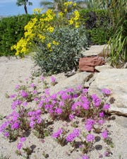 Sideyards with natural desert ground blend nicely with our famous local wildfires: sand verbena and brittlebush.