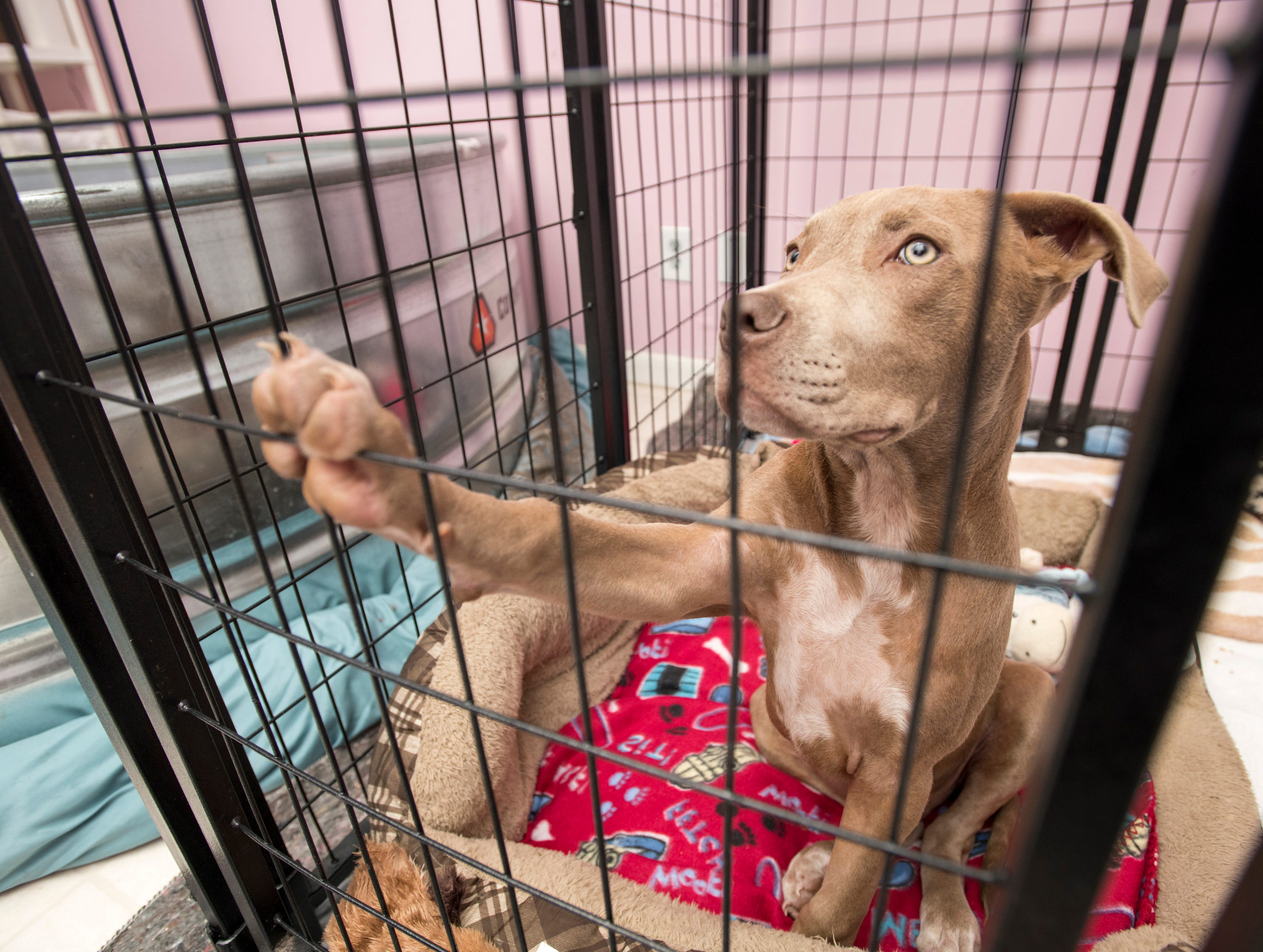 Wesson wants a little attention at the Phoenix Rising Rescue & Adoption Center in Cantonment on Tuesday, December 4, 2018.