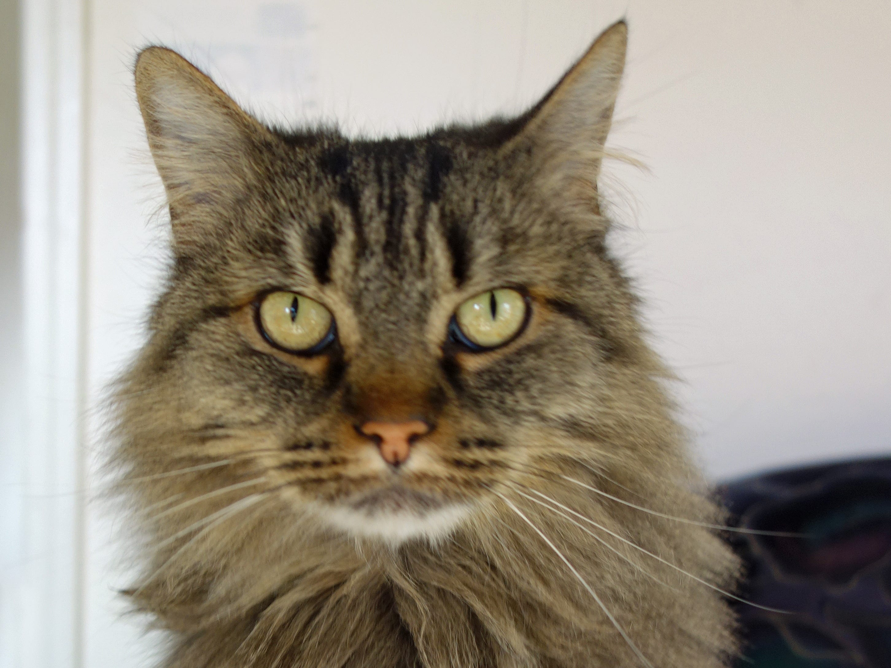 "Mu - pronounced ""mew"" - is a long-haired, female, Maine Coon and tabby mix cat. She's a gentle 6-year-old who likes to be petted and is a lap cat. Email Spay Neuter and Protect at Snap.spayneuterandprotect@gmail.com. Call 209-6966."