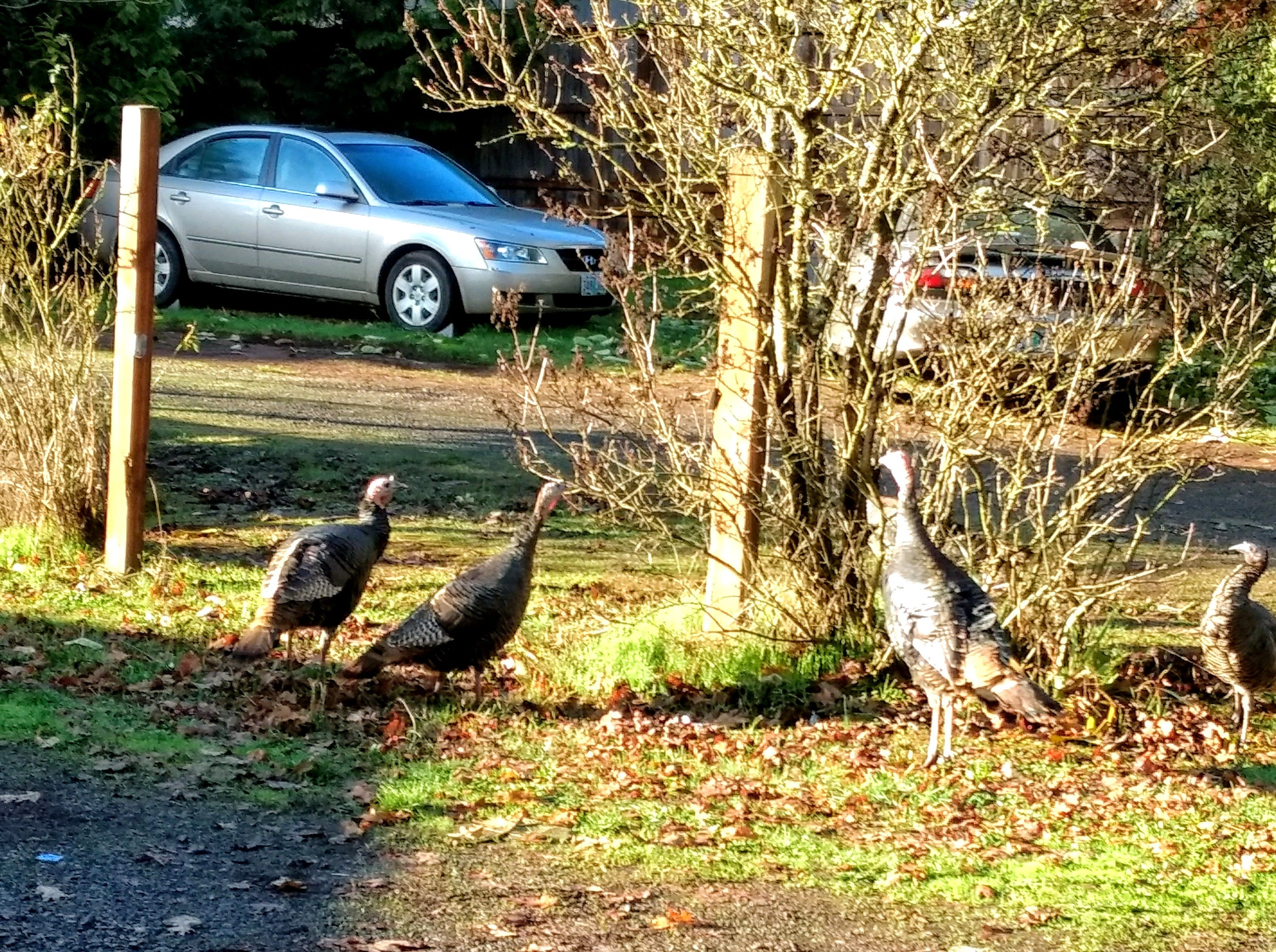 Harry's flock of turkeys seemed to be rapt by the dog's high-pitched keening. The mostly Jack Russell terrier seemed to have a morning snack on his mind.
