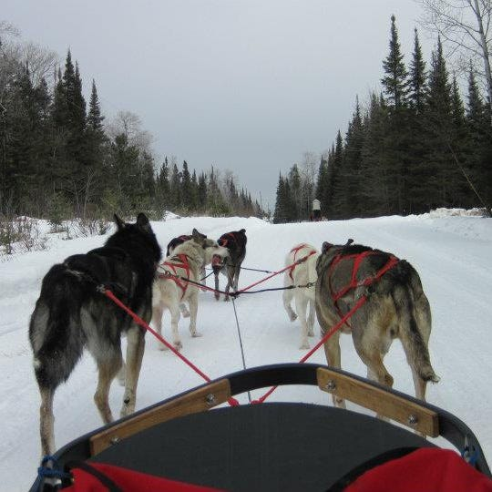A dog sled team usually has the newest dogs in the back.