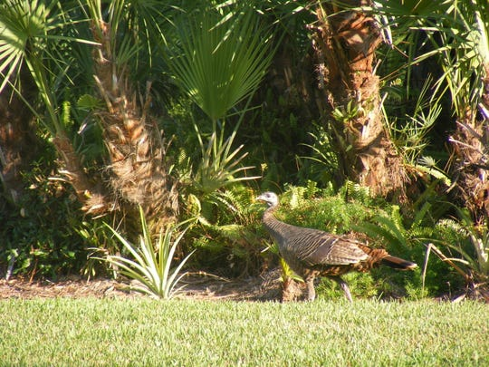 Jean Daly found a turkey wandering around in her yard in Palm City recently.