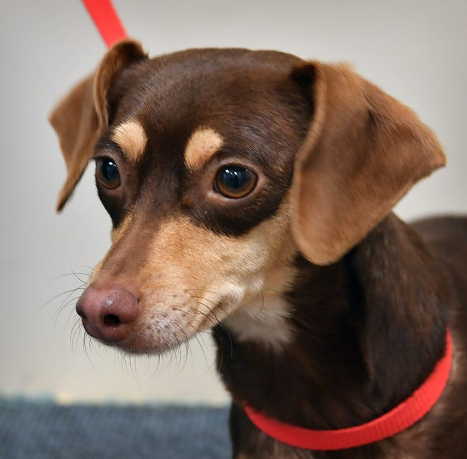 Jolly is a 3-year old, brown and tan, neutered terrier mix. He is loving and gets along with children, cats and other dogs. Jolly is available for adoption at the Wichita Falls Animal Services Center.