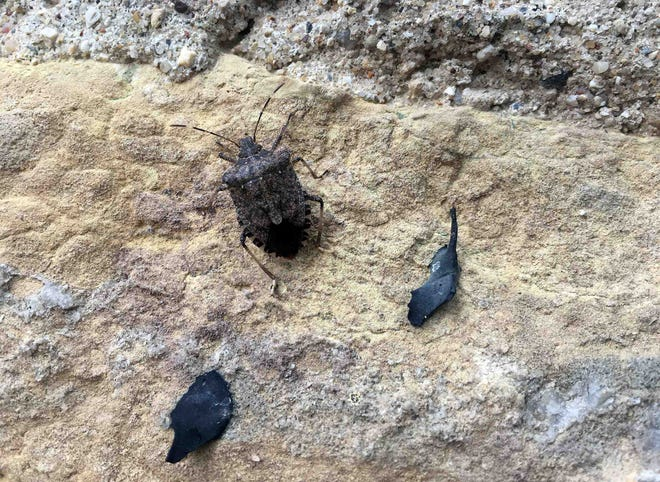 The brown marmorated stink bug, as seen on the wall of a building in Madison, is active across much of the southern portion of Wisconsin.