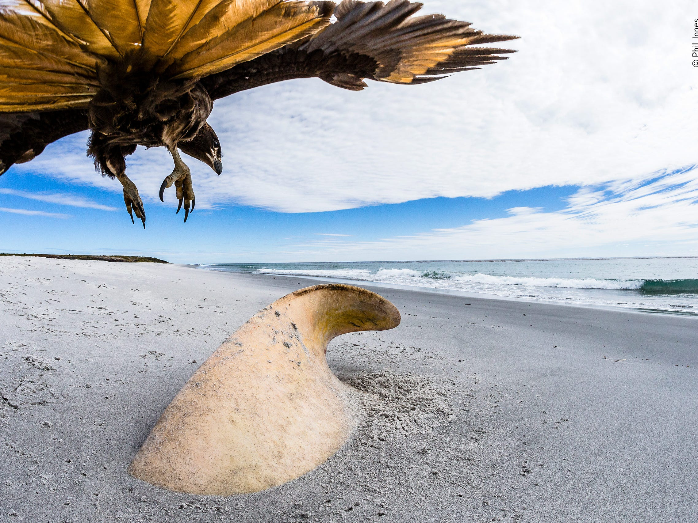 All That Remains by Phil Jones, UK -- A male orca had beached itself about a week before Phil's visit to Sea Lion Island, Falkland Islands. Despite its huge size the shifting sands had almost covered the whole carcass and scavengers, such as this striated caracara, had started to move in. -- Canon 1Dx Mark I + Canon 15mm f2.8 fisheye lens; 1/1250 sec at f16; ISO 1600; Joby gorillapod; Hahnel wireless remote shutter release