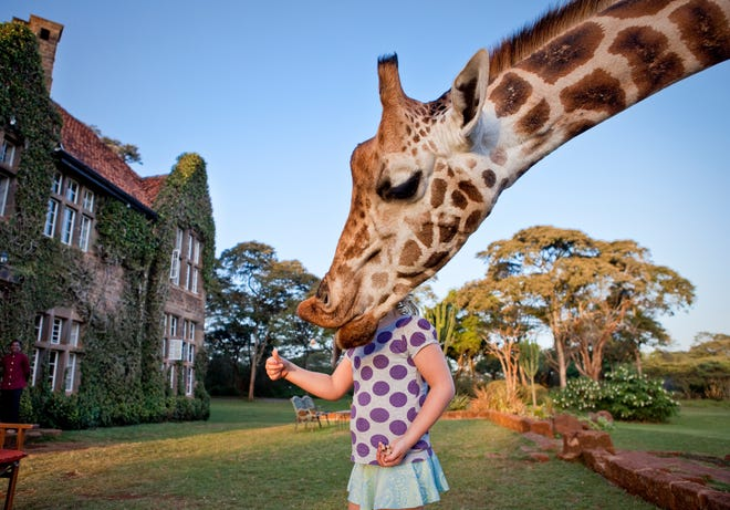 A Rothschild giraffe reaches for a treat offered by a girl.