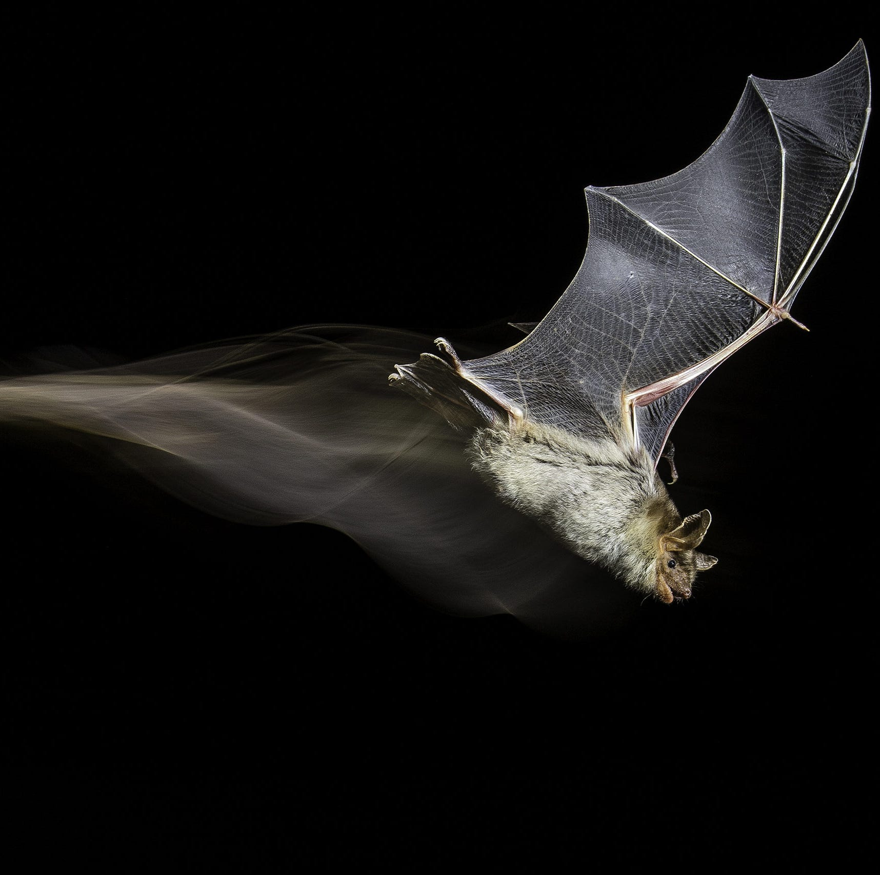 """The Bat's Wake by Antonio Leiva Sanchez, Spain -- After several months of field research into a little colony of greater mouse-eared bats in Sucs, Lleida, Spain, Antonio managed to capture this bat mid-flight. He used a technique of high speed photography with flashes combined with continuous light to create the """"wake."""" -- Canon7D Mark II + Tamron 18-270mm f3.5-6.3 lens; 1/13 sec at f10; ISO 200; Infrared barrier; Metz 58 AF-1 flash; E-TTL flash cable."""