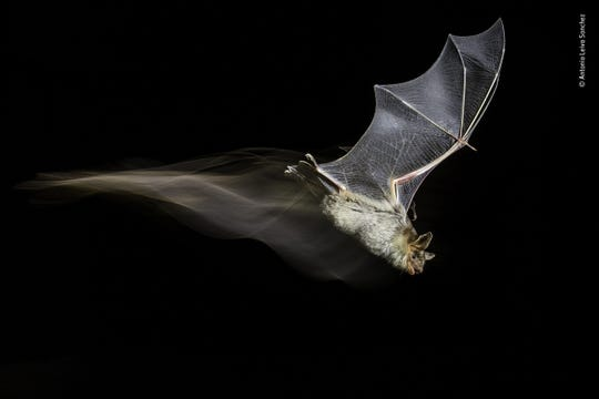 "The Bat's Wake by Antonio Leiva Sanchez, Spain -- After several months of field research into a little colony of greater mouse-eared bats in Sucs, Lleida, Spain, Antonio managed to capture this bat mid-flight. He used a technique of high speed photography with flashes combined with continuous light to create the ""wake."" -- Canon7D Mark II + Tamron 18-270mm f3.5-6.3 lens; 1/13 sec at f10; ISO 200; Infrared barrier; Metz 58 AF-1 flash; E-TTL flash cable."