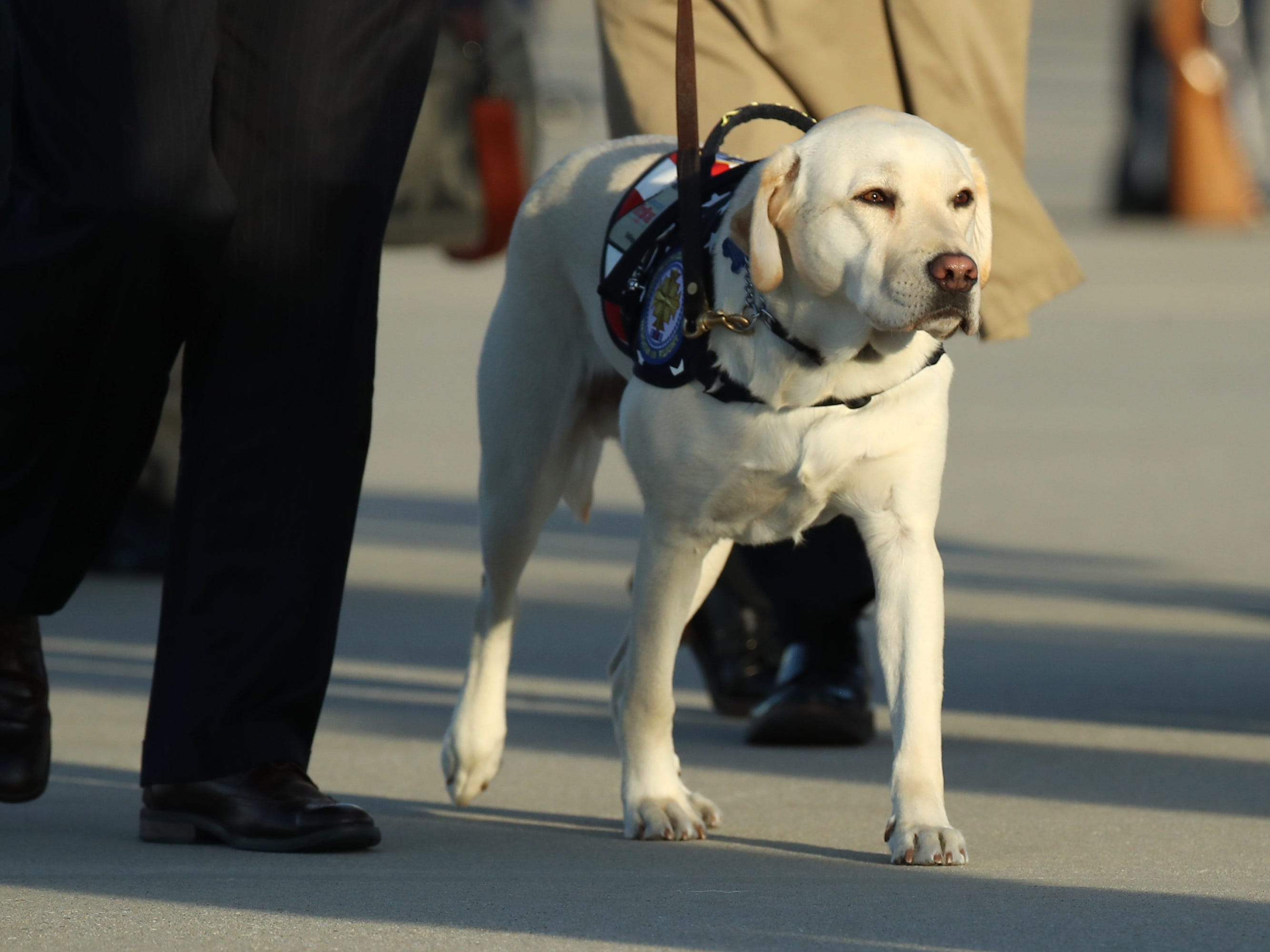 JOINT BASE ANDREWS, MARYLAND - DECEMBER 03: Sully, the yellow Labrador retriever service dog of former President George H.W. Bush walks thorugh Joint Base Andrews after the arrival of U.S. Air Force 747, being called 'Special Mission 41' carrying the casket of the remains of former U.S. President George H.W. Bush before heading to the U.S Capitol on December 3, 2018 in Joint Base Andrews, Maryland. A state funeral for former U.S. President Bush will be held in Washington over the next three days, beginning with him lying in state in the Rotunda of the U.S. Capitol until Wednesday morning. (Photo by Mark Wilson/Getty Images) ORG XMIT: 775266032 ORIG FILE ID: 1068060304