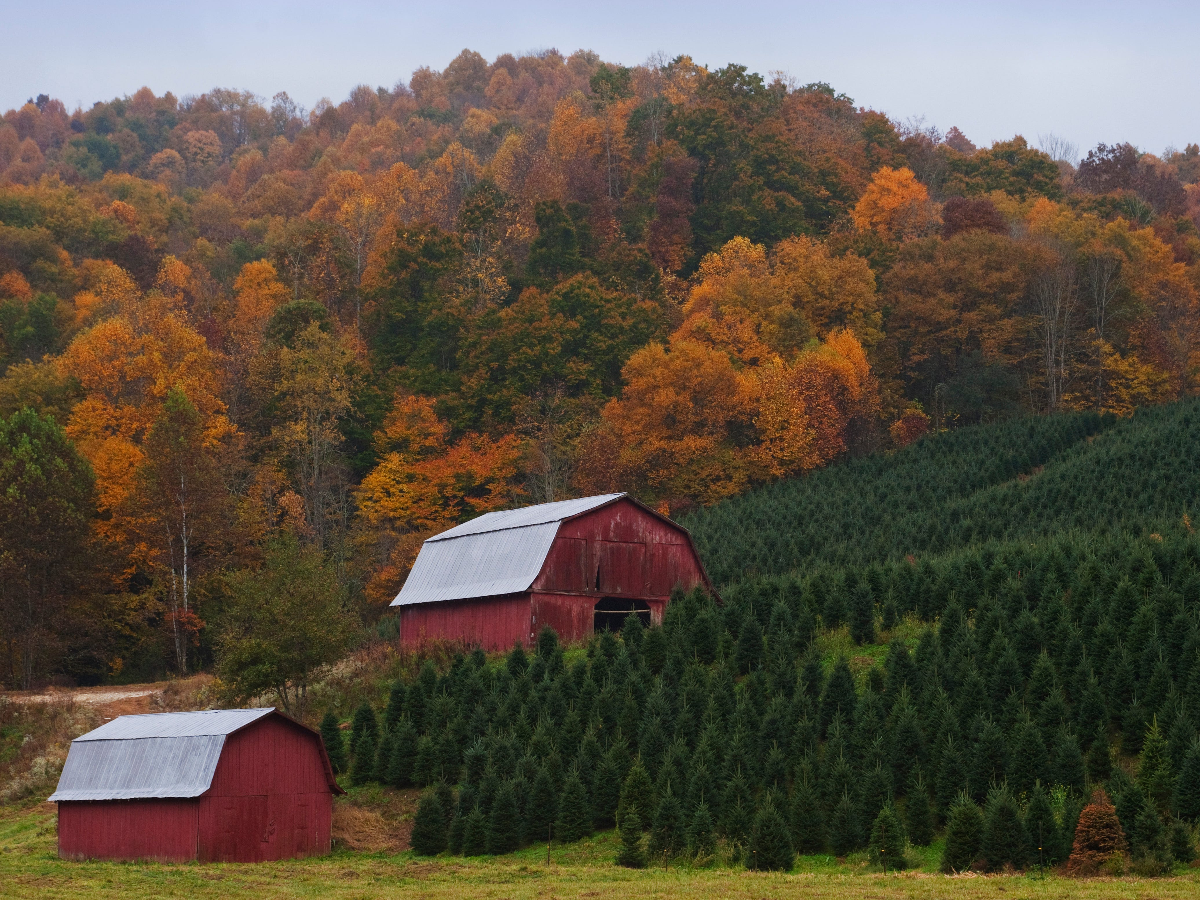 The main Fraser-growing areas are in counties in far northwest North Carolina, on the Tennessee or Virginia borders. The farm shown here is in Ashe County. Another prime area for Fraser growing is south of Asheville.