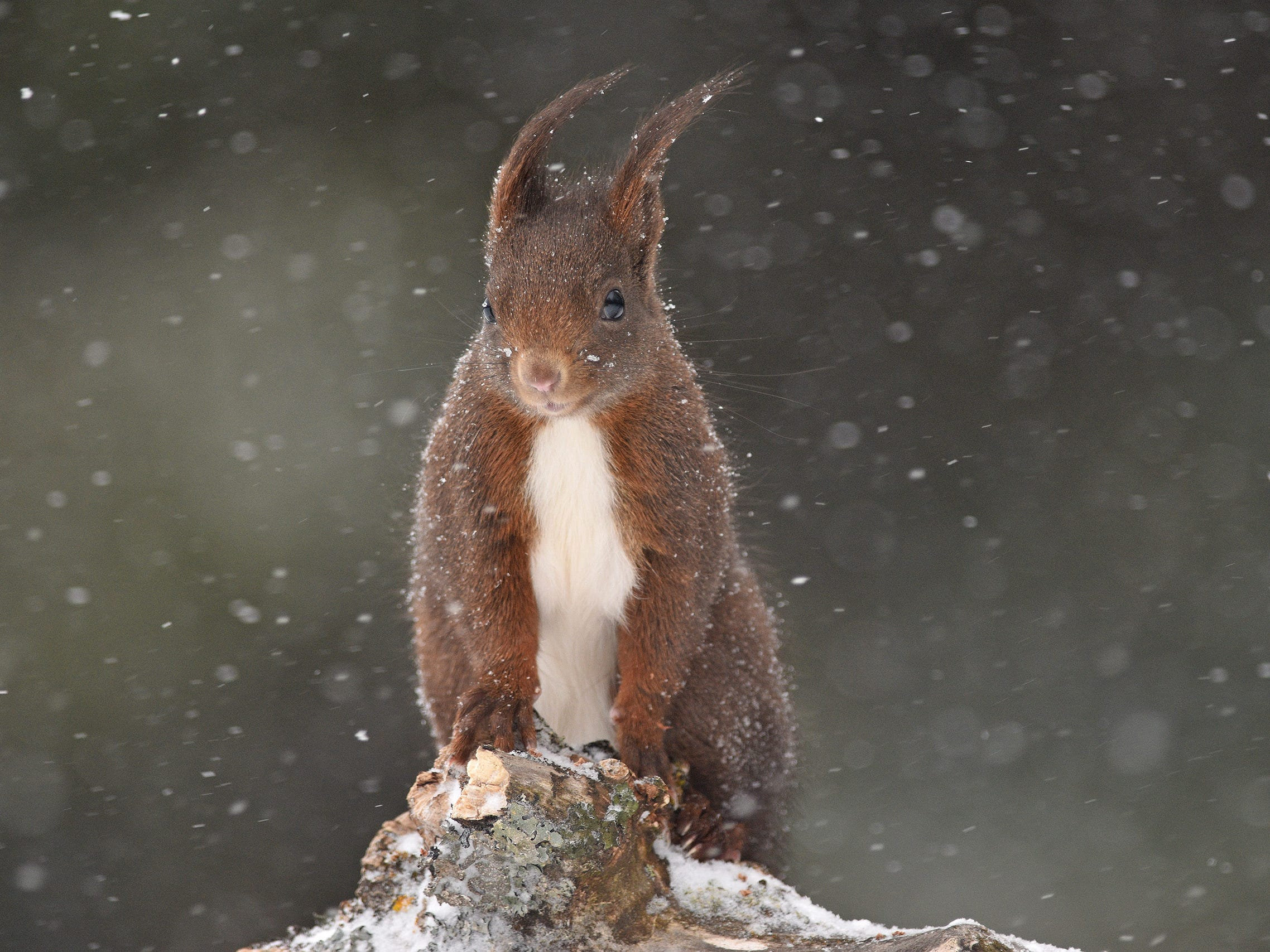 Under the Snow by Audren Morel, France -- Unafraid of the snowy blizzard, this squirrel came to visit Audren as he was taking photographs of birds in the small Jura village of Les Fourgs, France. Impressed by the squirrel's endurance, he made it the subject of the shoot. -- Nikon D7200 + Nikon 300mm f4 lens; 1/1600 sec at f4 (-0.7e/v); ISO 500.