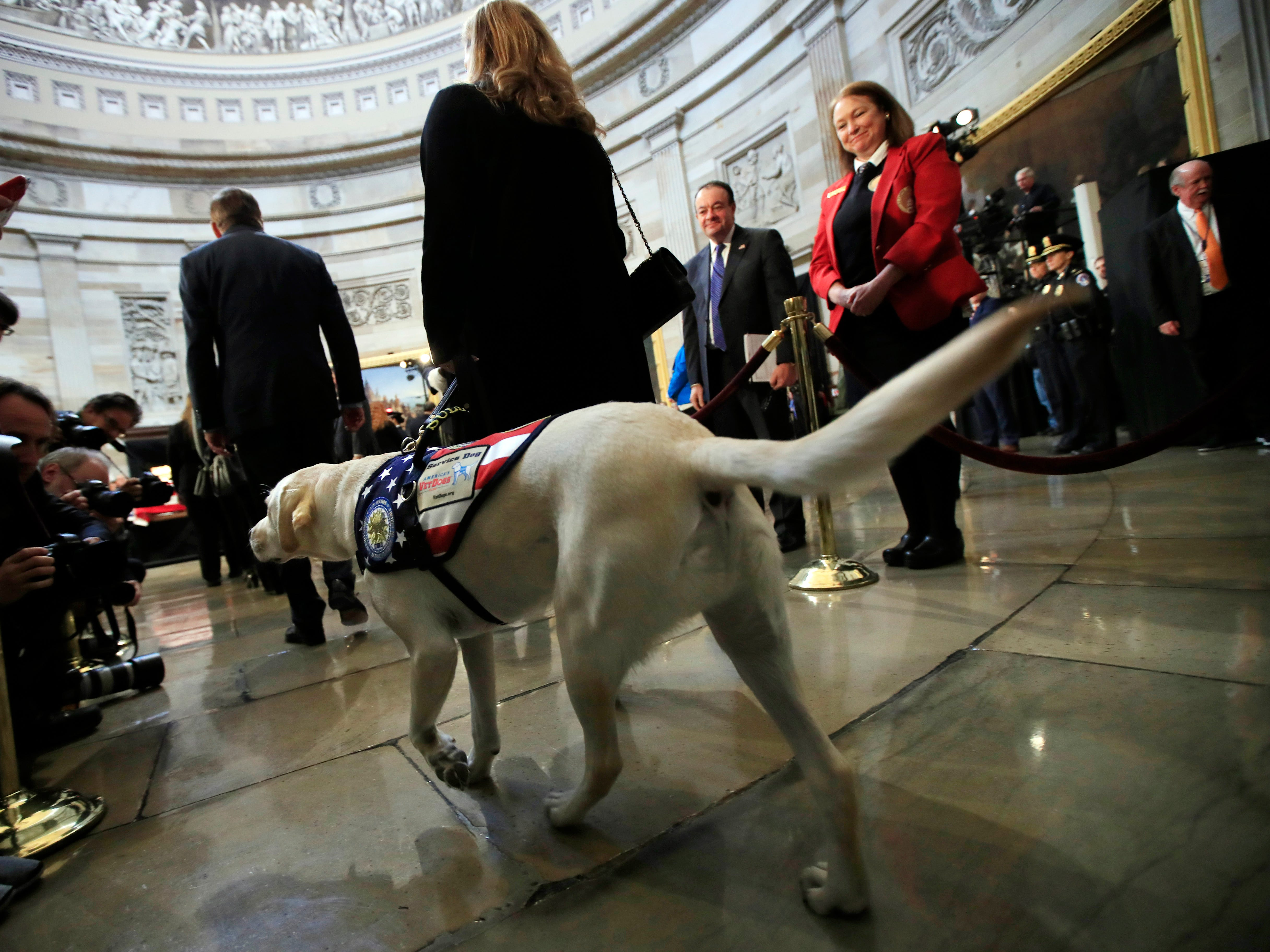 Sully, former President George H.W. Bush's service dog, walks to the Capitol Rotunda to pay respect to President Bush as he lie in state at the U.S. Capitol in Washington, Tuesday, Dec. 4, 2018. (AP Photo/Manuel Balce Ceneta) ORG XMIT: DCMC109