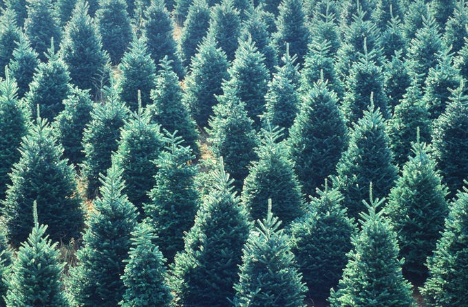 Where are America's top Christmas trees grown? Western North Carolina. Fraser firs from the area have been selected for the White House's official Blue Room display 13 times since 1971. Since records have been kept, no other state has provided as many trees for this purpose. The 2018 tree is a Fraser from the Tar Heel State.