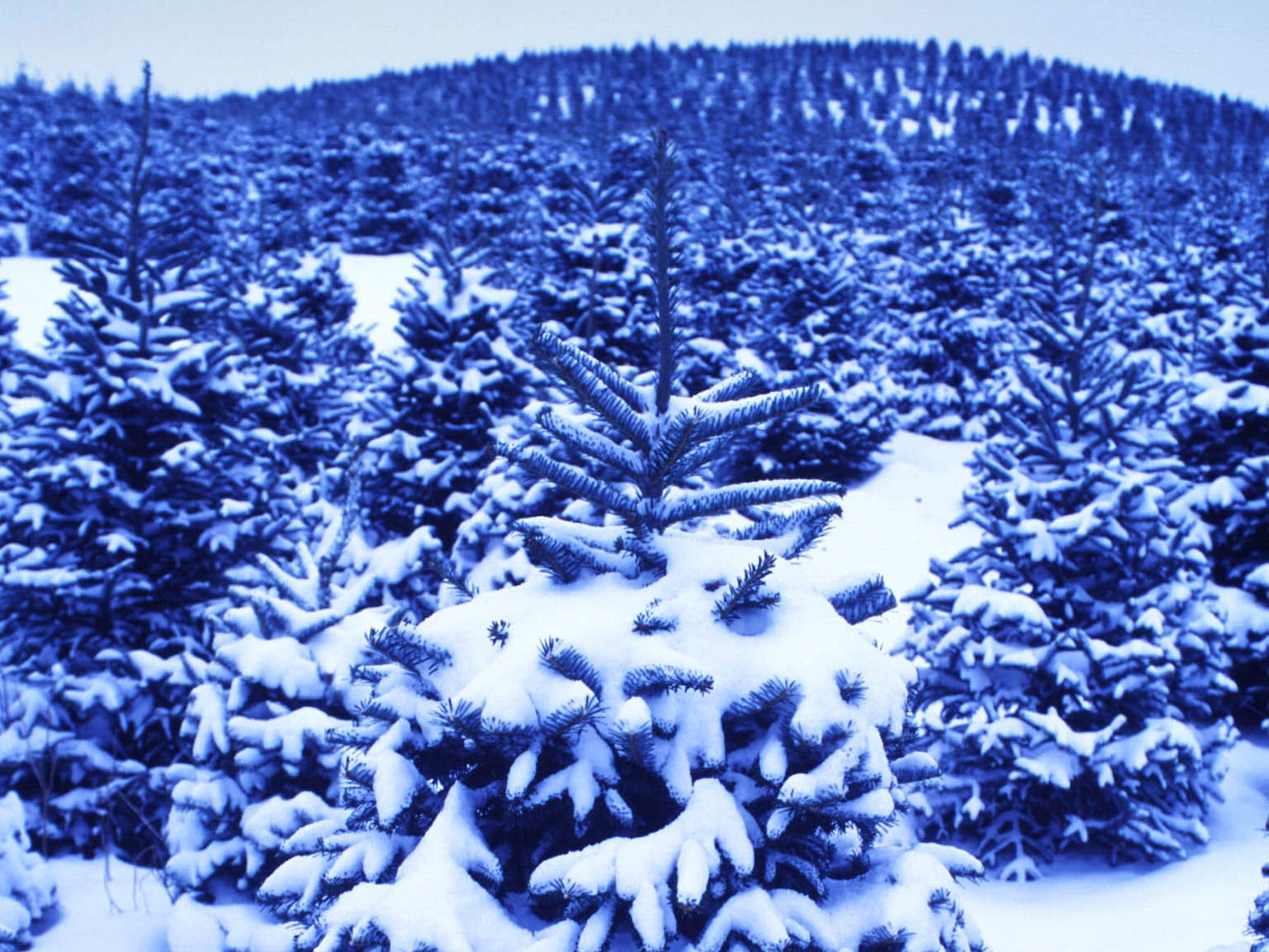 Choose-and-cut season continues until Christmas. But snow can close rural and major roads to tree farms once winter arrives.