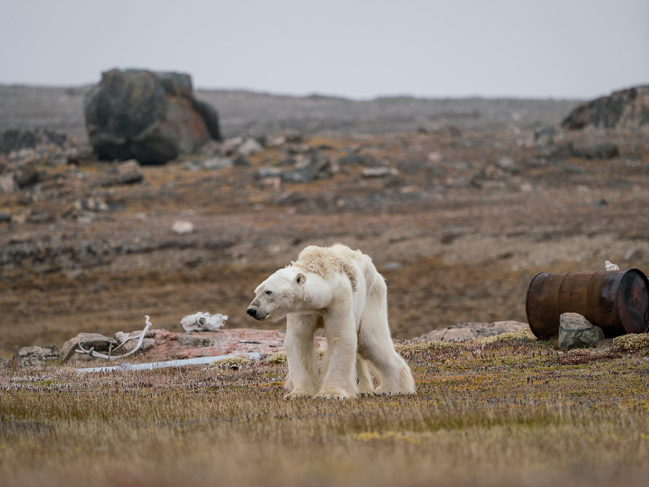 A Polar Bear's Struggle by Justin Hofman, USA -- Justin's whole body pained as he watched this starving polar bear at an abandoned hunter's camp, in the Canadian Arctic, slowly heave itself up to standing. With little, and thinning, ice to move around on, the bear is unable to search for food. -- Sony a7R II + Sony FE 100-400mm f4.5-5.6 GM OSS lens; 1/200 sec at f10; ISO 800.