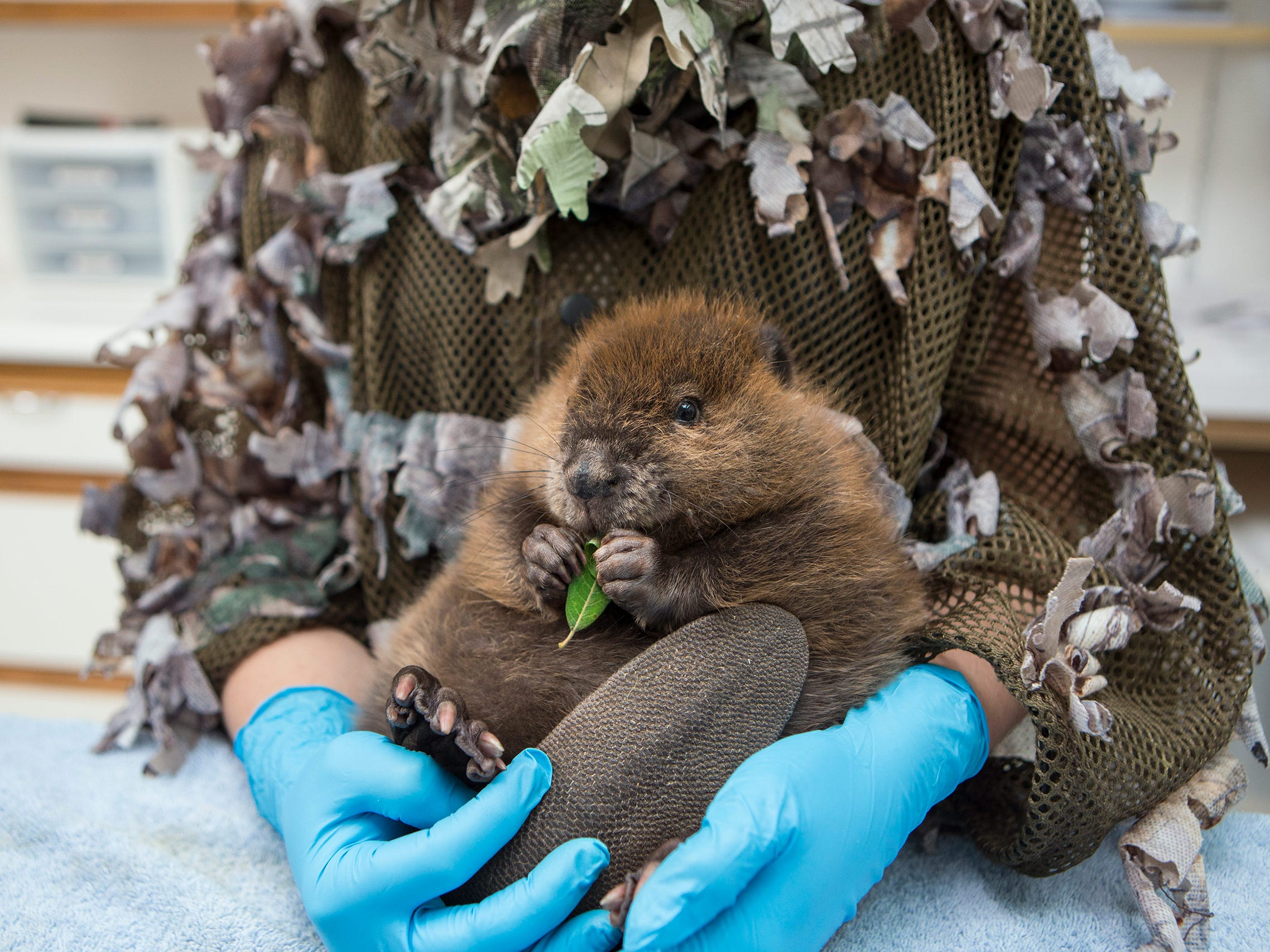 The Orphaned Beaver by Suzi Eszterhas, USA  -- A one-month-old orphaned North American beaver kit is held by a caretaker at the Sarvey Wildlife Care Center in Arlington, Washington. Luckily it was paired with a female beaver who took on the role of mother and they were later released into the wild. -- Canon 1DX + 24-70mm f2.8 lens; 1/200 sec at f3.5; ISO 1600.