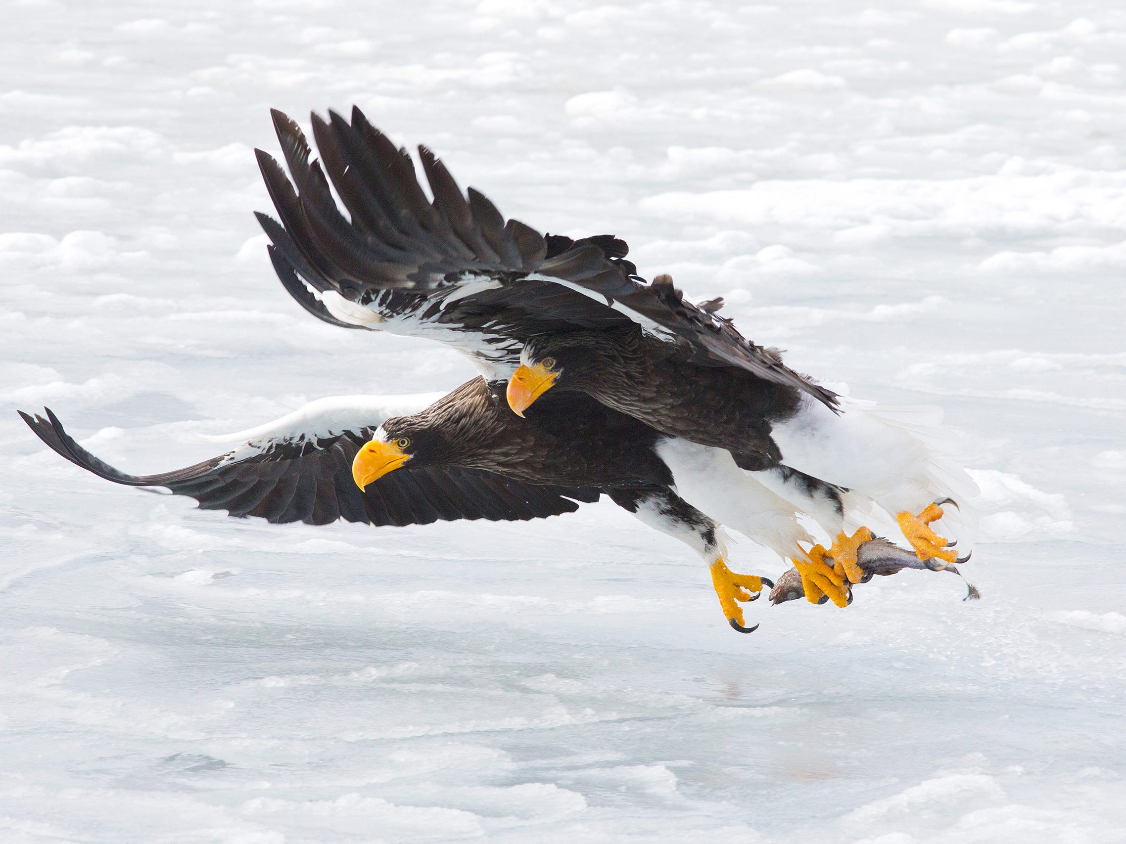 The Extraction by Konstantin Shatenev, Russia -- Every winter, hundreds of Steller's sea eagles migrate from Russia, to the relatively ice-free northeastern coast of Hokkaido, Japan. They hunt for fish among the ices floes and also scavenge, following the fishing boats to feed on any discards. Konstantin took his image from a boat as the eagles retrieved a dead fish thrown onto the ice. -- Canon1DX + EF300 f4IS USM lens; 1/1250 sec at f13; ISO800.