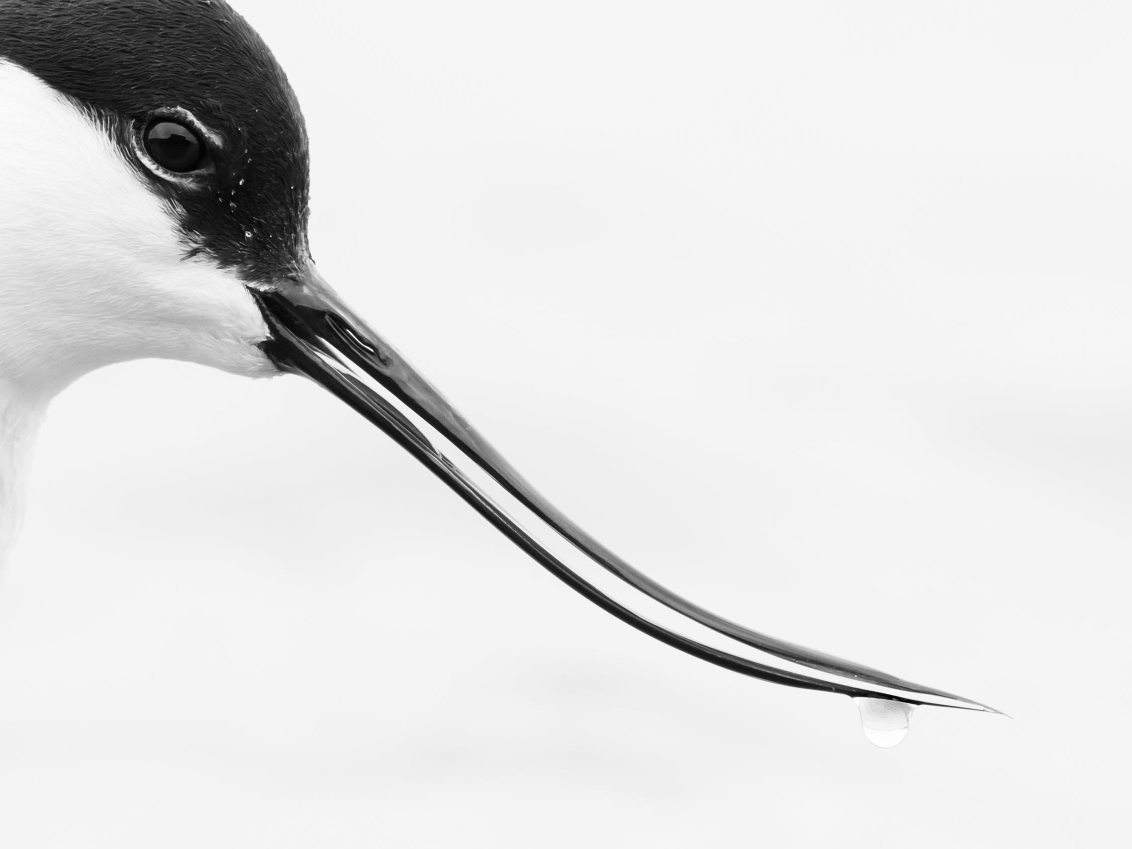 Unique Bill by Rob Blanken, The Netherlands -- The pied avocet has a unique and delicate bill, which it sweeps like a scythe, as it sifts for food in shallow brackish water. This stunning portrait was taken from a hide in the northern province of Friesland in The Netherlands. -- Nikon D500 + AF-S Nikkor 200-500mm f1:5.6 E ED lens at 250mm; 1/200 sec at f6 (+ 2 2/3); ISO 800.