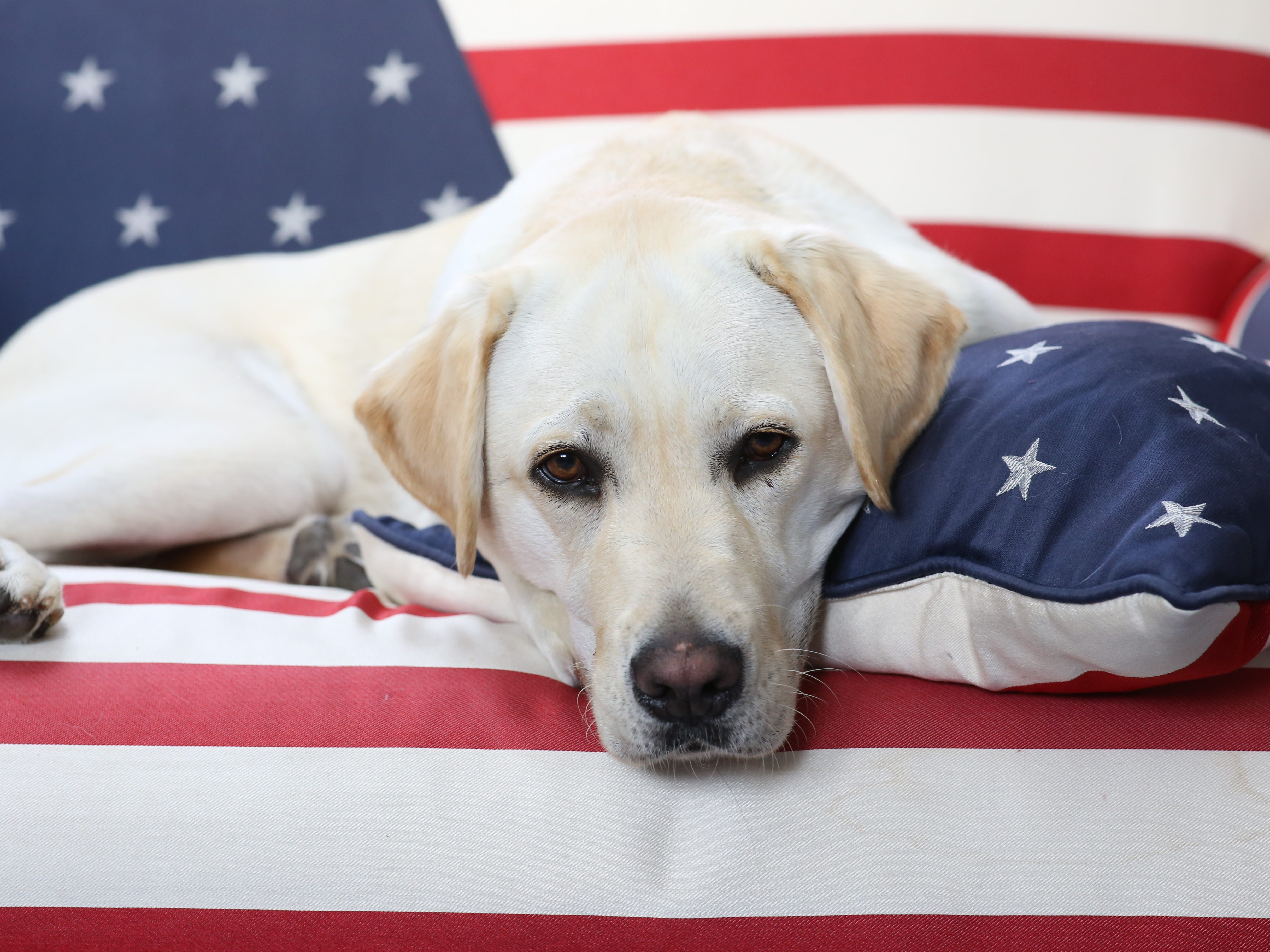 """Sully, the yellow Labrador retriever that's been seen resting loyally near former President George H.W. Bush's casket, has another mission ahead.Bush family spokesman Jim McGrath's shared a now viral photo of the dog after the 41st president's death, saying """"mission complete"""" on Sunday. The moving image won the hearts of dog lovers everywhere who expressed love for the pup and even defended the dog's relationship with Bush after Slate slammed the photo as not worth anyone's """"emotional energy."""""""