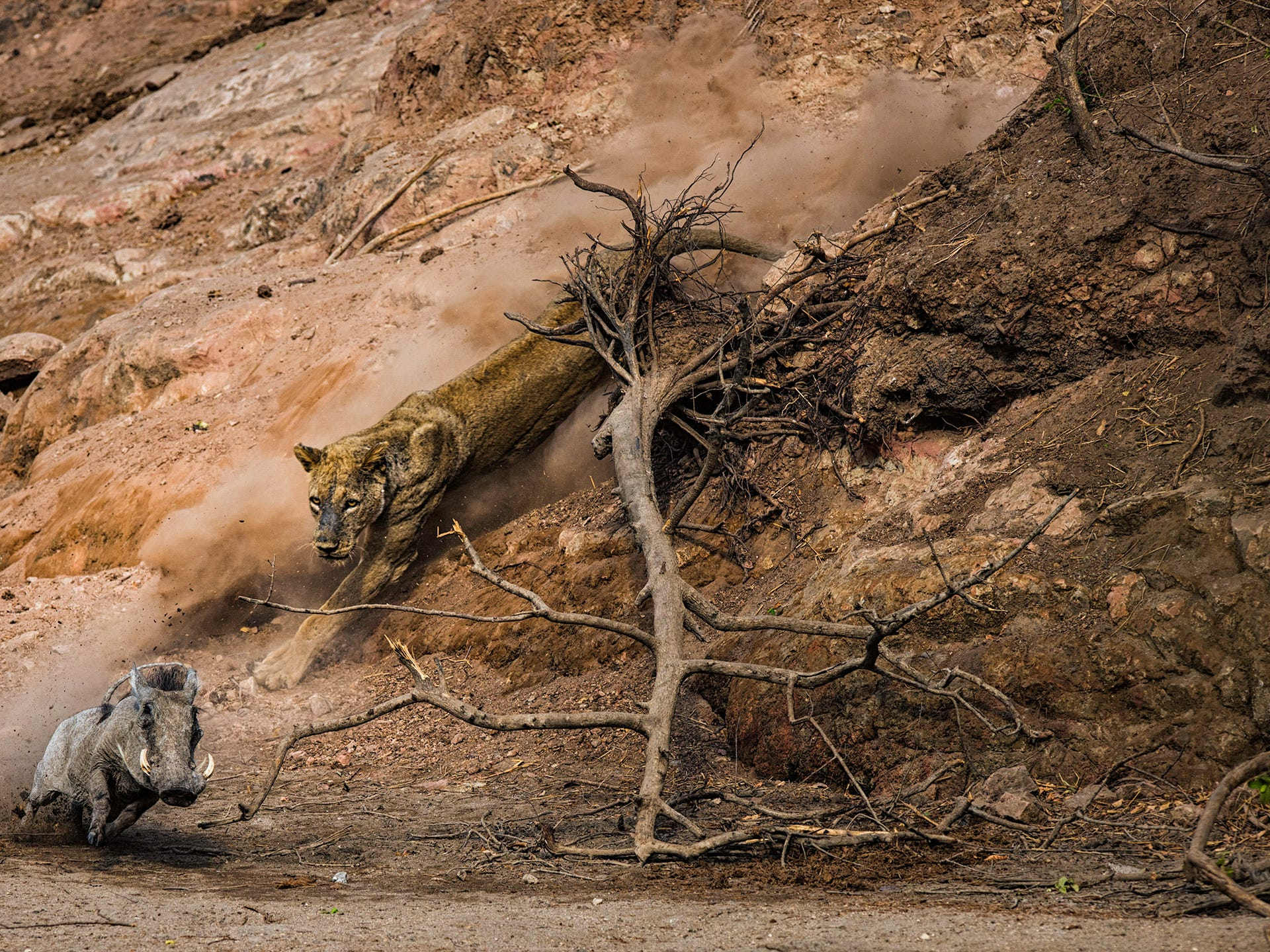 Ambush by Federico Veronesi, Kenya -- On a hot morning at the Chitake Springs, in Mana Pools National Park, Zimbabwe, Federico watched as an old lioness descended from the top of the riverbank. SheÕd been lying in wait to ambush any passing animals visiting a nearby waterhole further along the riverbed. -- Nikon D810 + 400mm f2.8 lens; 1/1000 sec at f5 (-1e/v); ISO 140.