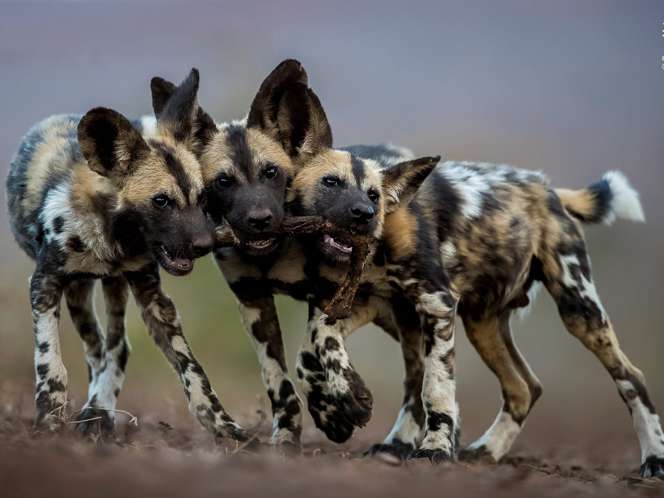One Toy, Three Dogs by Bence Mate, Hungary -- While adult African wild dogs are merciless killers, their pups are extremely cute and play all day long. Bence photographed these brothers in Mkuze, South Africa – they all wanted to play with the leg of an impala and were trying to drag it in three different directions! -- Canon EOS-1DX Mark II; 200-400mm lens (35mm equivalent: 197.2-394.3 mm); 1/1800 sec at f4.0; 4000 ISO.