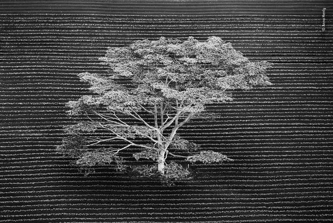 Isolated by Anna Henly, UK -- Snapped from a helicopter, this isolated tree stands in a cultivated field on the edge of a tropical forest on Kauai, Hawaii. The manmade straight lines of the plowed furrows are interrupted beautifully by nature's more unruly wild pattern of tree branches. -- Canon EOS 5D Mark II + EF70-200mm f/2.8 L IS USM lens used at 130mm; 1/2500 sec at f2.8; ISO 400.