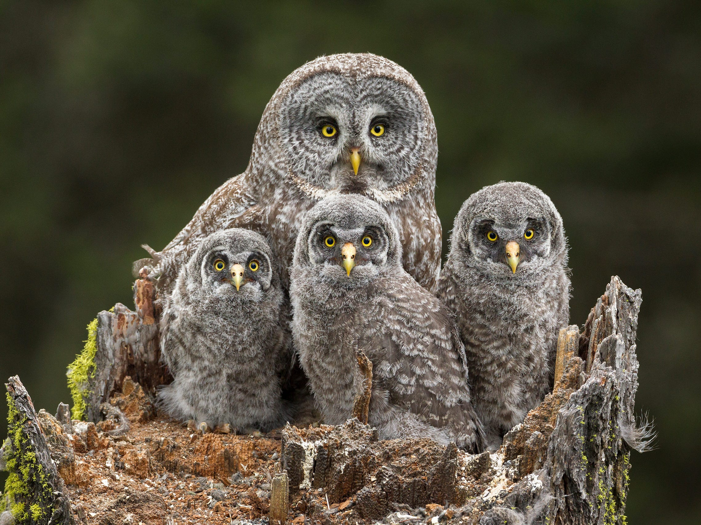 Family Portrait by Connor Stefanison, Canada -- A great grey owl and her chicks sit in their nest in the broken top of a Douglas fir tree in Kamloops, Canada. They looked towards Connor only twice as he watched them during the nesting season from a tree hide 50 feet up. -- Canon 1D Mark IV + Canon 500mm f4 IS lens; 1/200 sec at f7.1; ISO 1250; Manfrotto monopod.