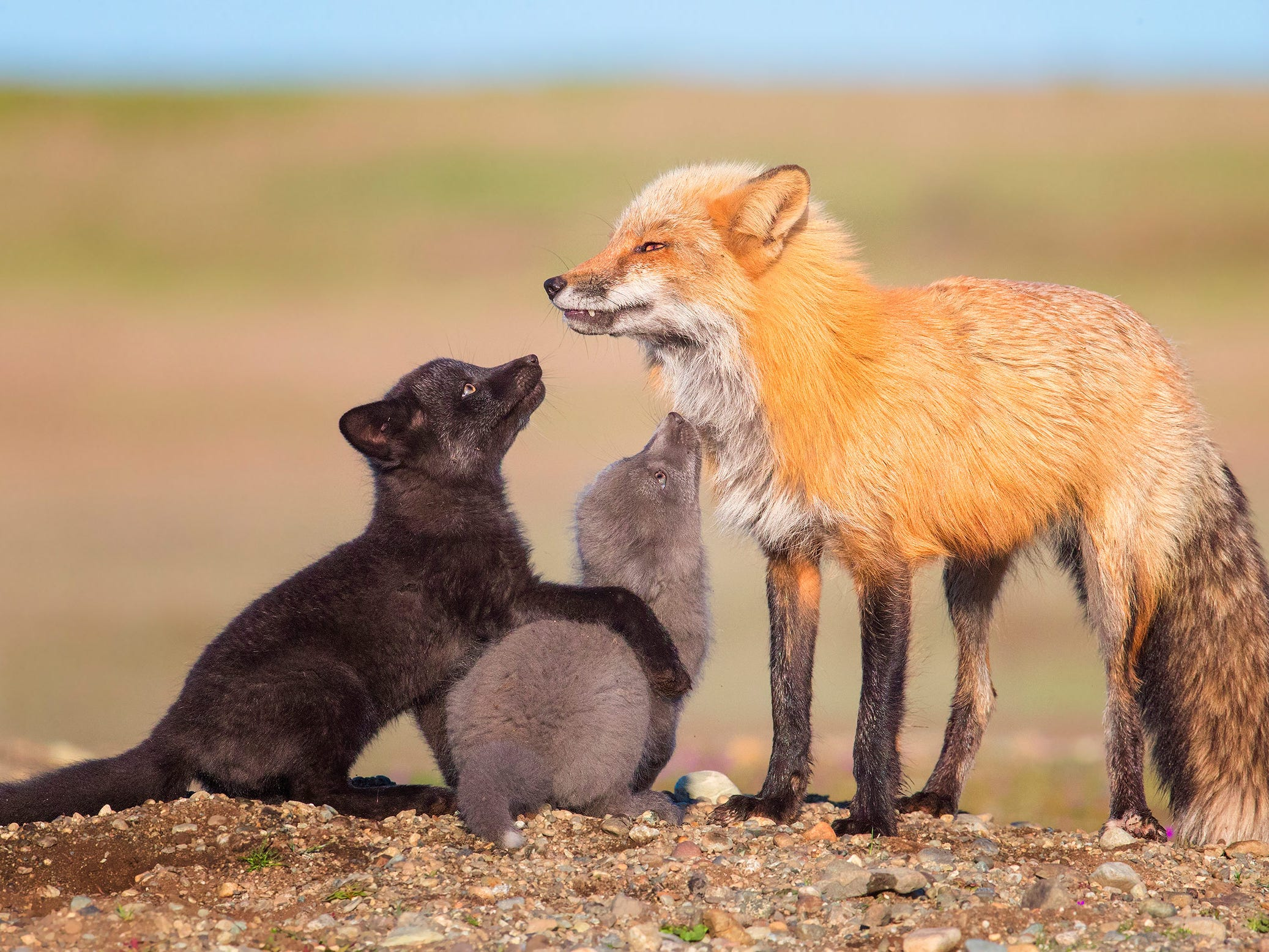 Red, Silver and Black by Tin Man Lee, USA -- Tin was fortunate enough to be told about a fox den in Washington State, North America, which was home to a family of red, black and silver foxes. After days of waiting for good weather he was finally rewarded with this touching moment. -- Canon 1DX Mark II +600mm f4 lens; 1.4x teleconverter; 1/1600 sec at f11; ISO 2000.
