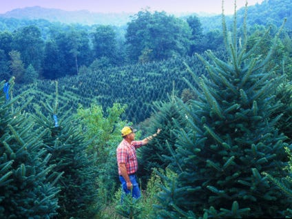 The Fraser fir, Owen says, has been in the western North Carolina mountains since the last Ice Age. They thrive on mountainsides at high southeastern altitudes. They are now primarily grown for holiday display – and North Carolina is one of the top producers of such trees. The overwhelming majority of holiday trees raised in-state are Frasers.