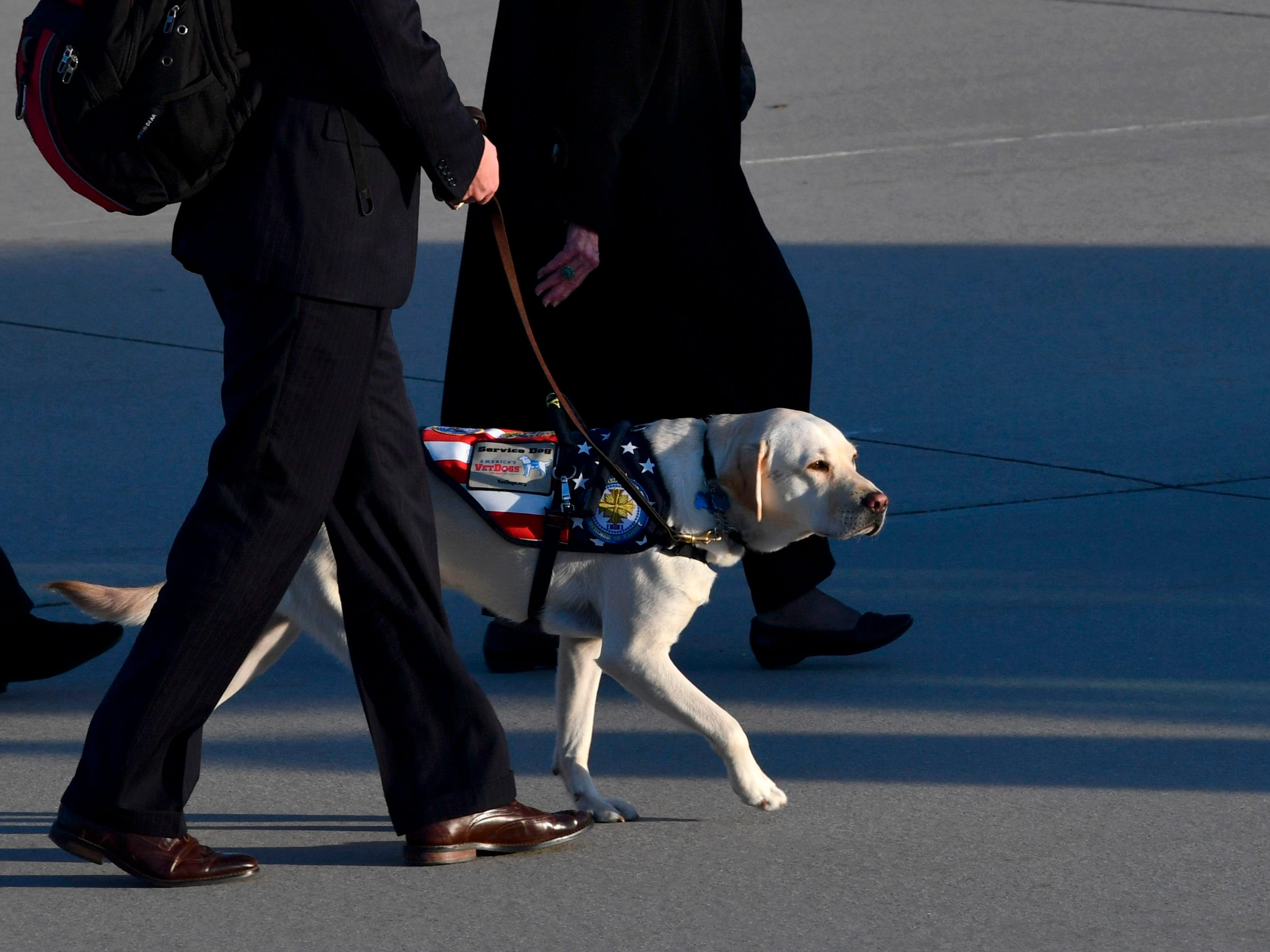 TOPSHOT - The yellow Labrador retriever Sully, the late former US president's faithful service dog, walks on the tarmac after the flag-draped casket of former President George H.W. Bush was carried by a joint services military honor guard to a hearse at Joint Base Andrews, Maryland, on December 3, 2018. (Photo by Nicholas Kamm / AFP)NICHOLAS KAMM/AFP/Getty Images ORIG FILE ID: AFP_1BB6O7
