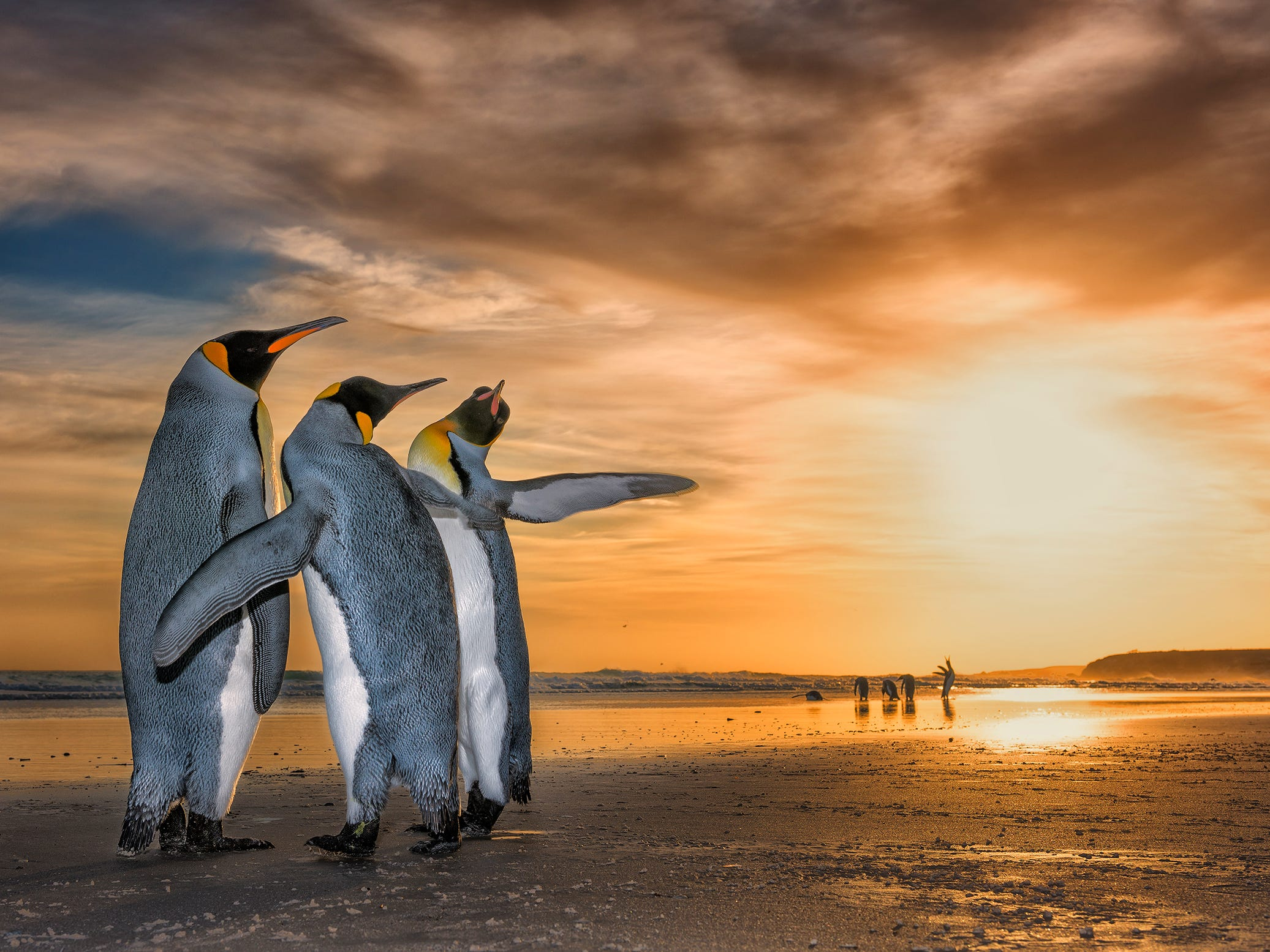 Three Kings by Wim Van Den Heever, South Africa -- Wim came across these king penguins on a beach in the Falkland Islands just as the sun was rising. They were caught up in a fascinating mating behavior – the two males were constantly moving around the female using their flippers to fend the other off. -- Nikon D810 + Nikon 24-70mm f2.8 lens at 40mm; 1/250sec at f11; Nikon SB910 flash.