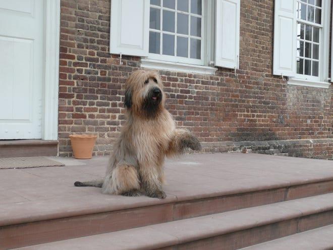 LIberty, a Briard, greets visitors to Colonial Williamsburg, Virginia.