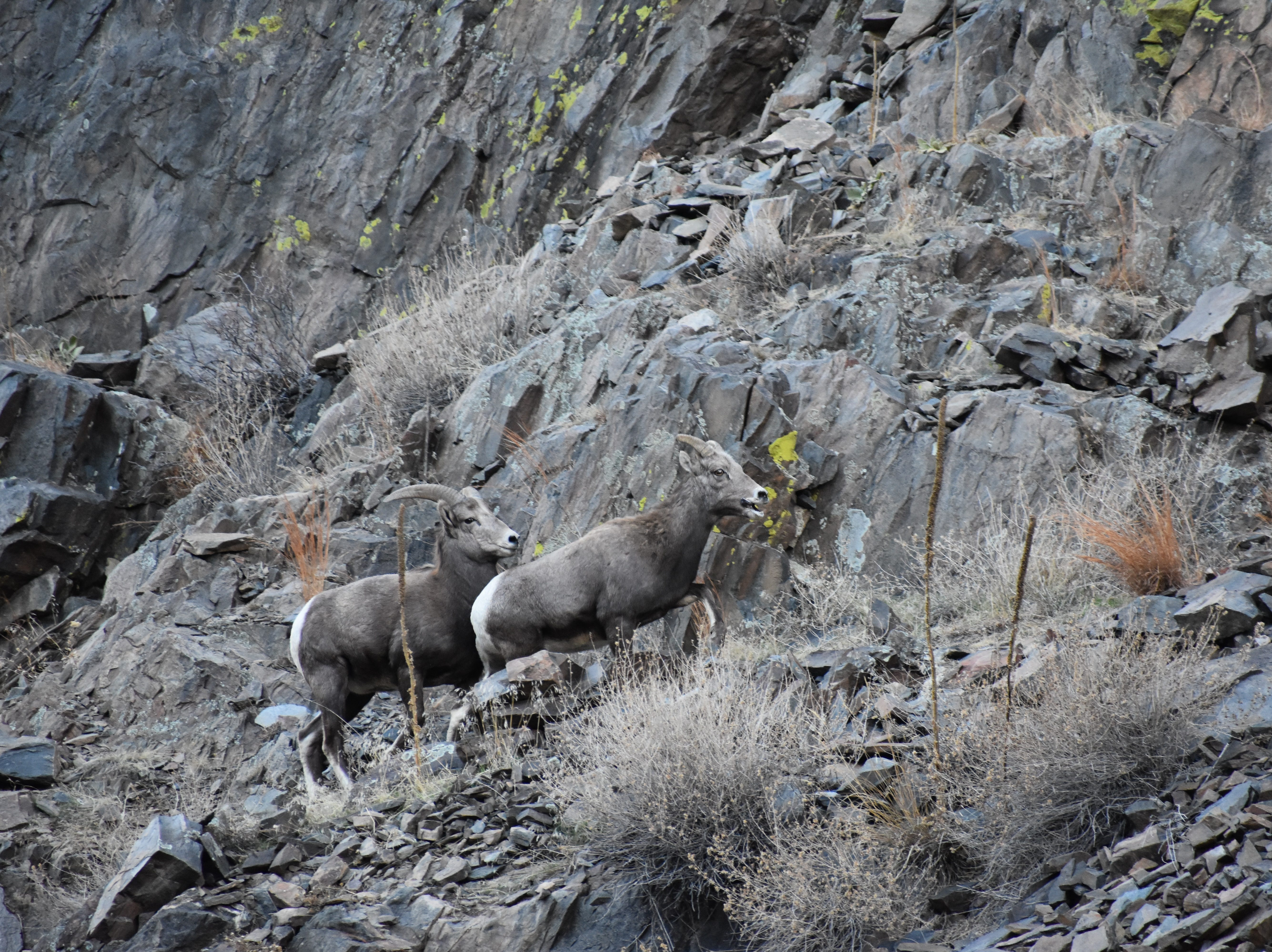 The Big Thompson Canyon bighorn sheep herd can usually be found near the mouth of the canyon on the north side of U.S. Highway 34. Please make sure to only use designated pullouts when looking for or viewing bighorns.