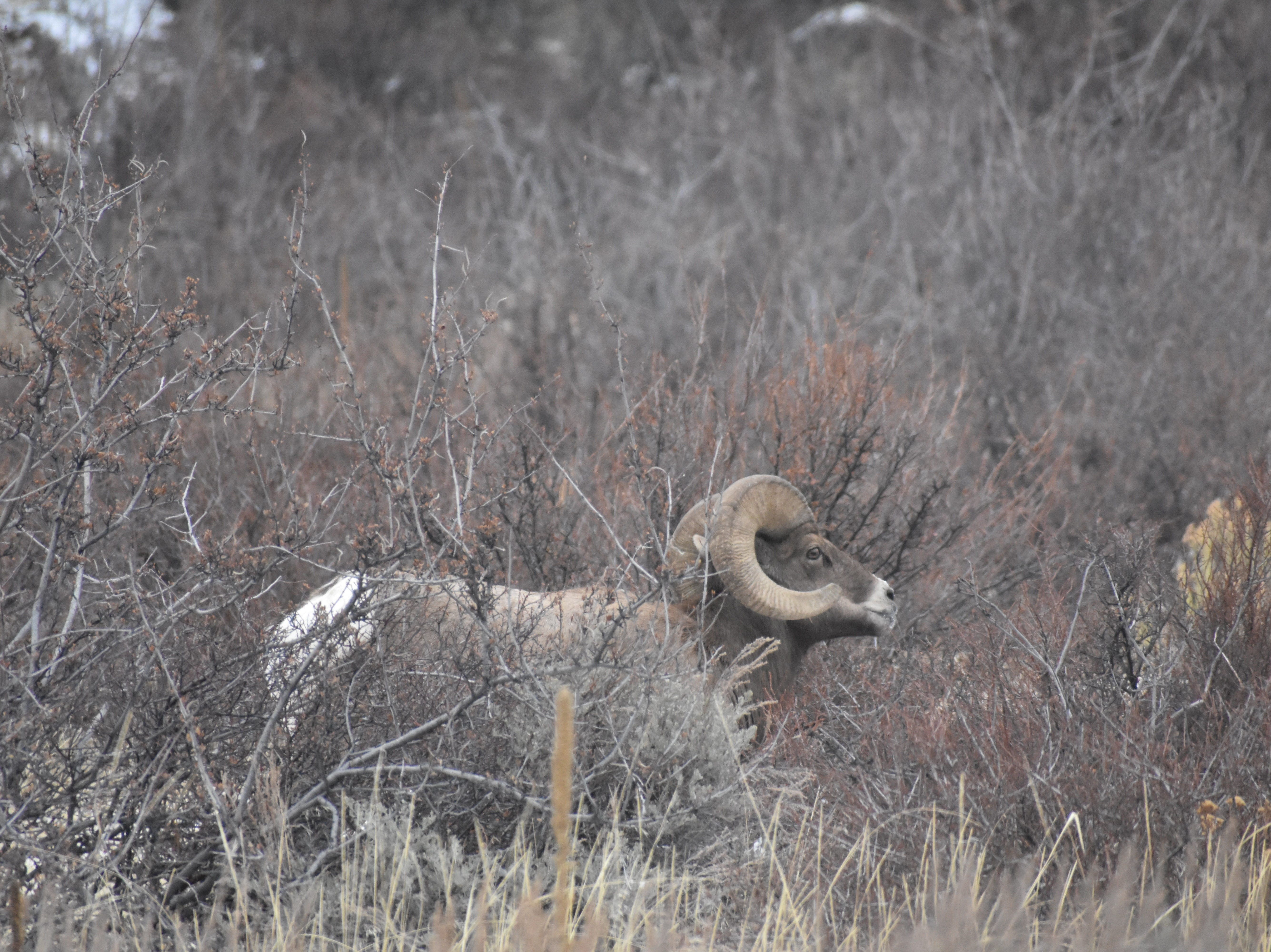 Colorado Parks and Wildlife estimates the state's bighorn sheep population to be just less than 7,000, including about 100 in the Poudre Canyon.