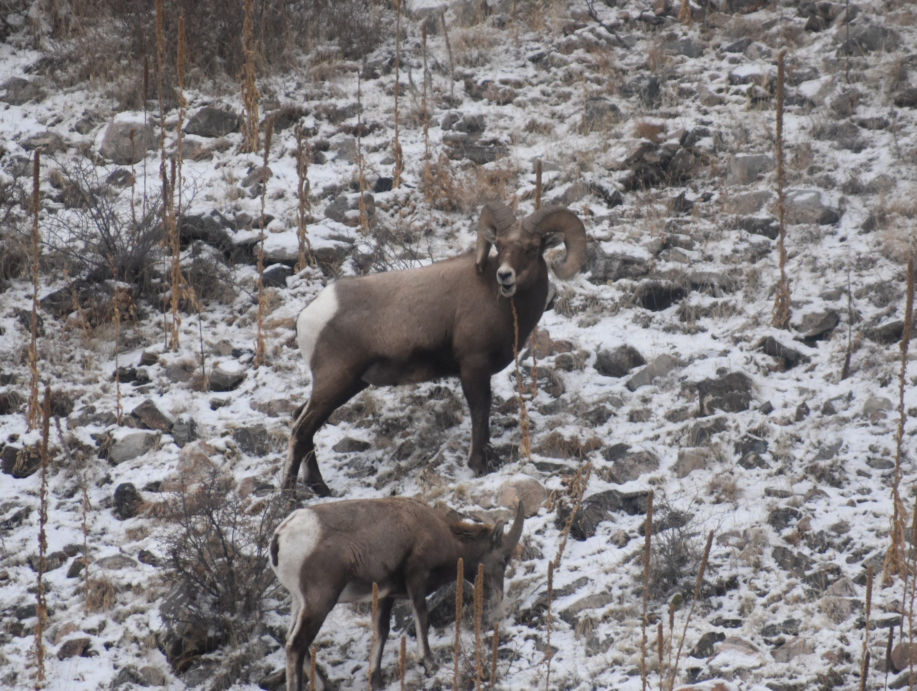 Winters can be tough on bighorn sheep so please don't stress them out with your watching. It is best to observe them from your vehicle using binoculars and/or long telephoto lens.