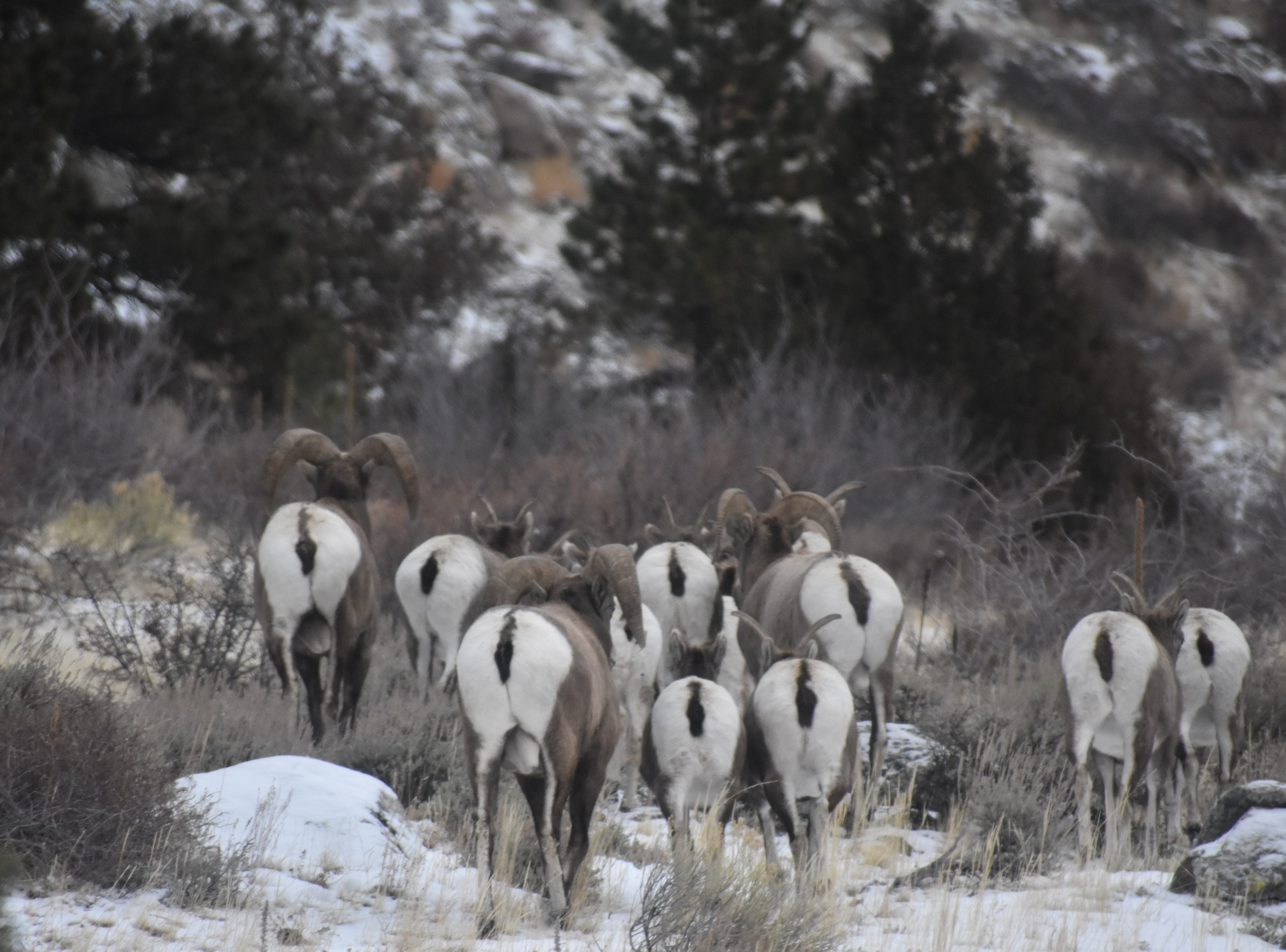 When looking for hard-to-see bighorn sheep on hillsides, look for white butts, which can be easier to see than the body color, which blends in with the rocks and dried grasses.