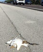 A dead cattle egret on I-75's shoulder