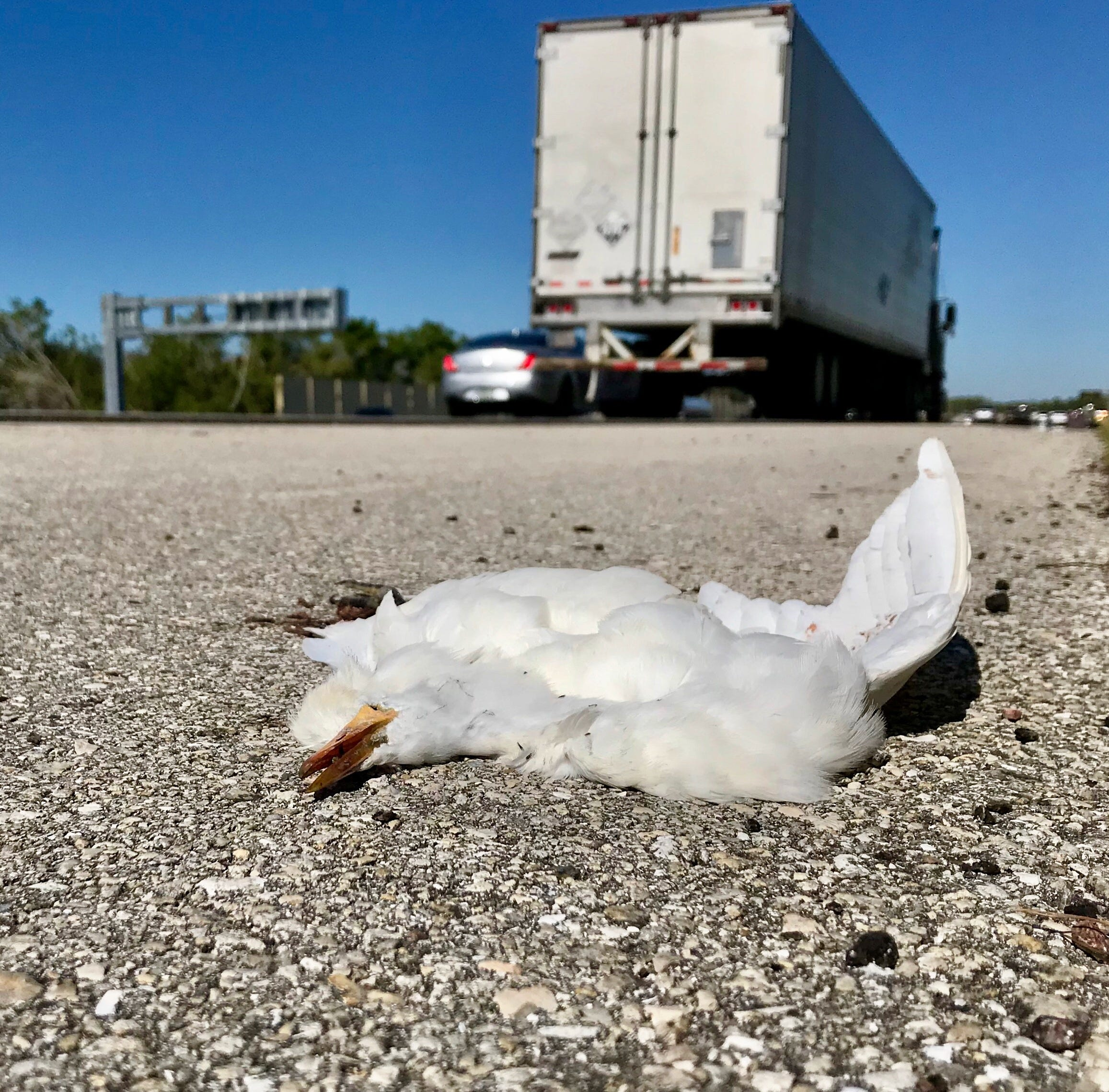 Mortality mystery: Why all the dead egrets on I-75?
