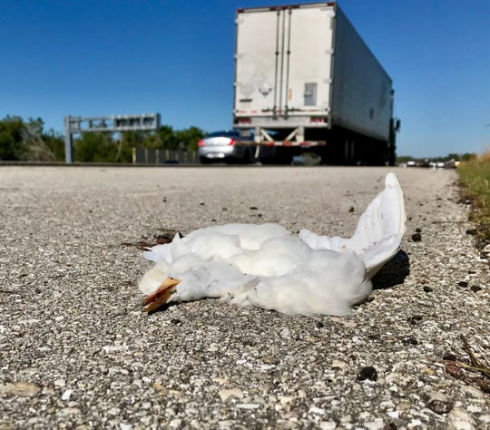 One of many dead cattle egrets along I-75.