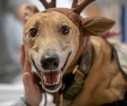 Therapy dog Phineas, AKA Finn, at Riley Hospital for Children, Indianapolis, Monday, Dec. 3, 2018. Finn's guardian, Kathi Moore says that the greyhound sleeps as much as 23 hours a day, is mellow, and readily flops down on any bed or couch nearby.