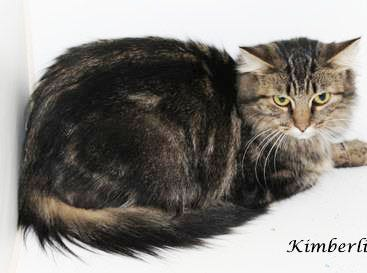 Kimberli(Daisy) is an inside only, long-hair Tabby, (about 2 years old). She is a very sweet lap cat. It takes her a few minutes to warm up but her former owners treated her well and it shows. She likes chin scratches and head rubs. She is fine with small dogs (no exposure to larger dogs). She will blossom in a calm, less active household and would do best in a home without small children. She is spayed, combo-tested Neg., has current vaccinations and microchipped. She is litter box proficient with a $40 adoption fee. Info: www.monroecountyfriendsofanimals.org