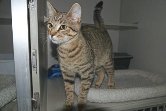 Tom Tom is one of the friendliest cats at the Lincoln County Humane Society. He is very playful with other cats and he loves toys.