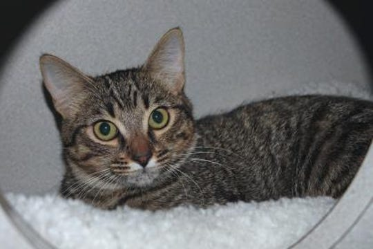 Turtle is one of three stray kittens that Animal Control found and brought to the shelter. Turtle is the last of her sisters to find her Furr-Ever home.