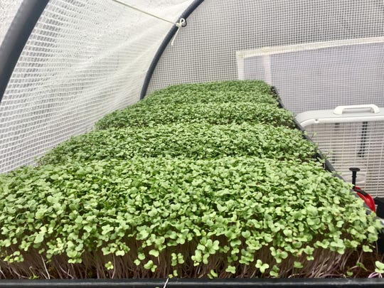 Urban farmer Brian Carlstrom grows several microgreens, including broccoli.