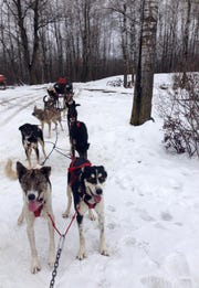 Darcy Stanley-Nord's sled dogs stand ready during a winter practice.